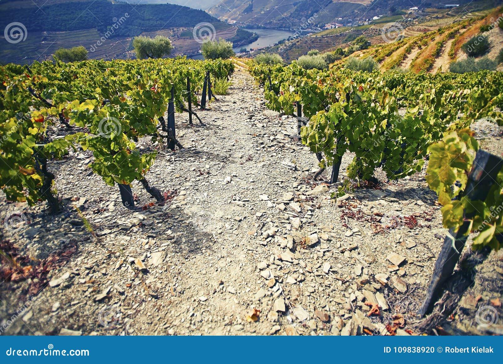 Steiler, steiniger Weg unter grünen Weinbüschen mit dem Fluss im Hintergrund Duero-Region portugal
