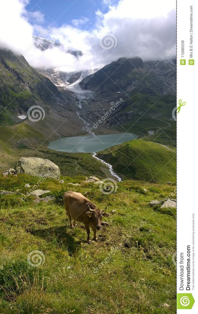 Stein Glacier Switzerland and Cow