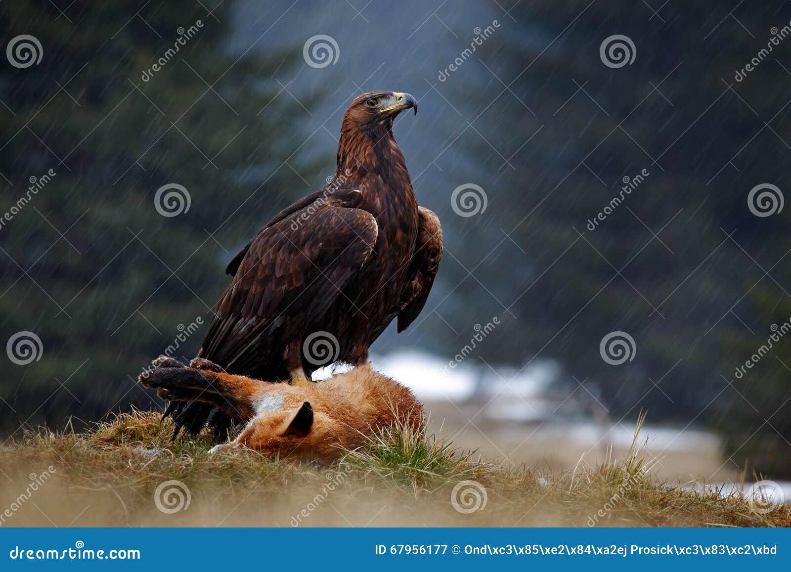 Steinadler, ziehend auf Tötung roten Fox im Wald während des Regens ein