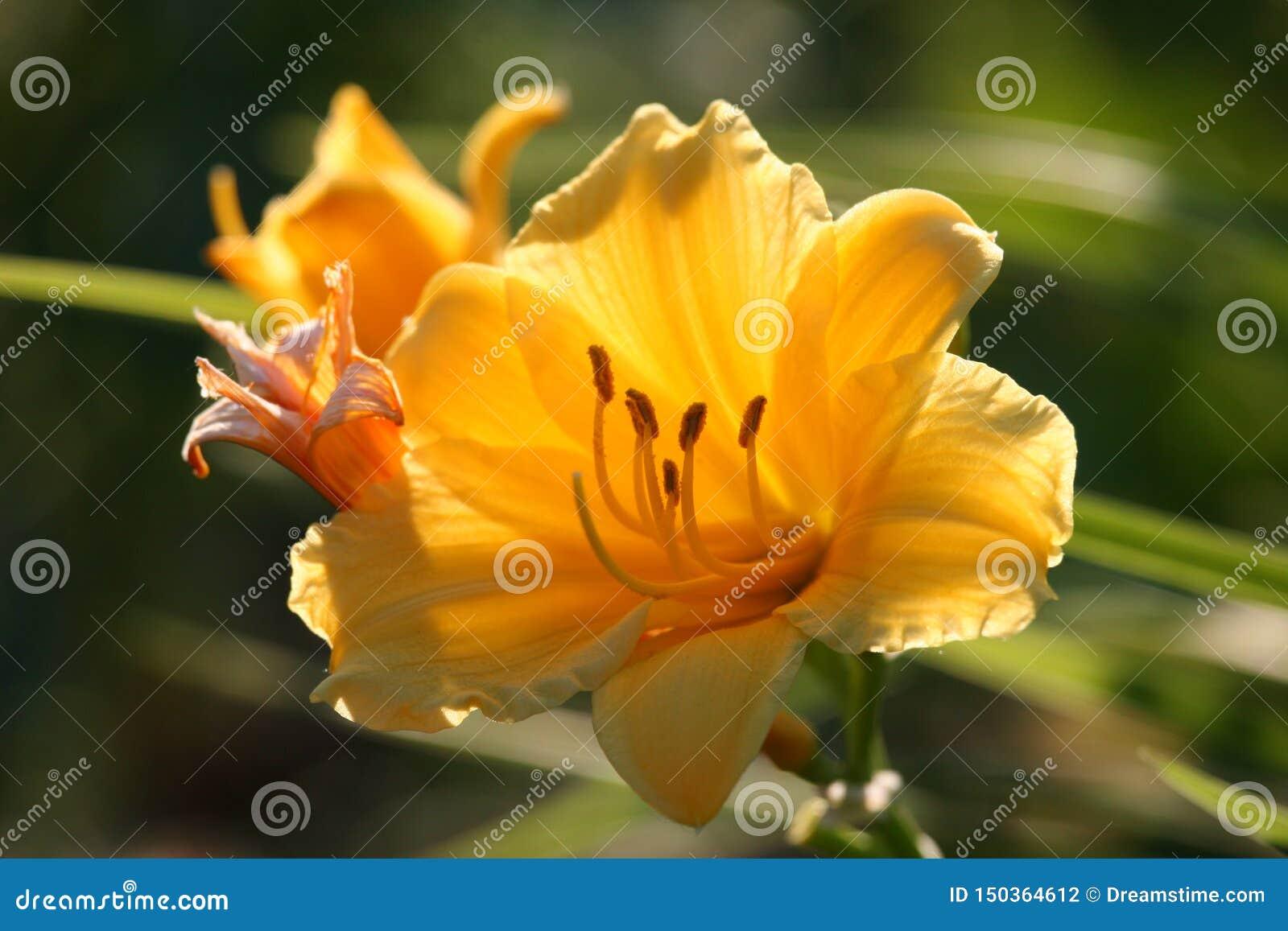 Stella de Oro Daylily de oro