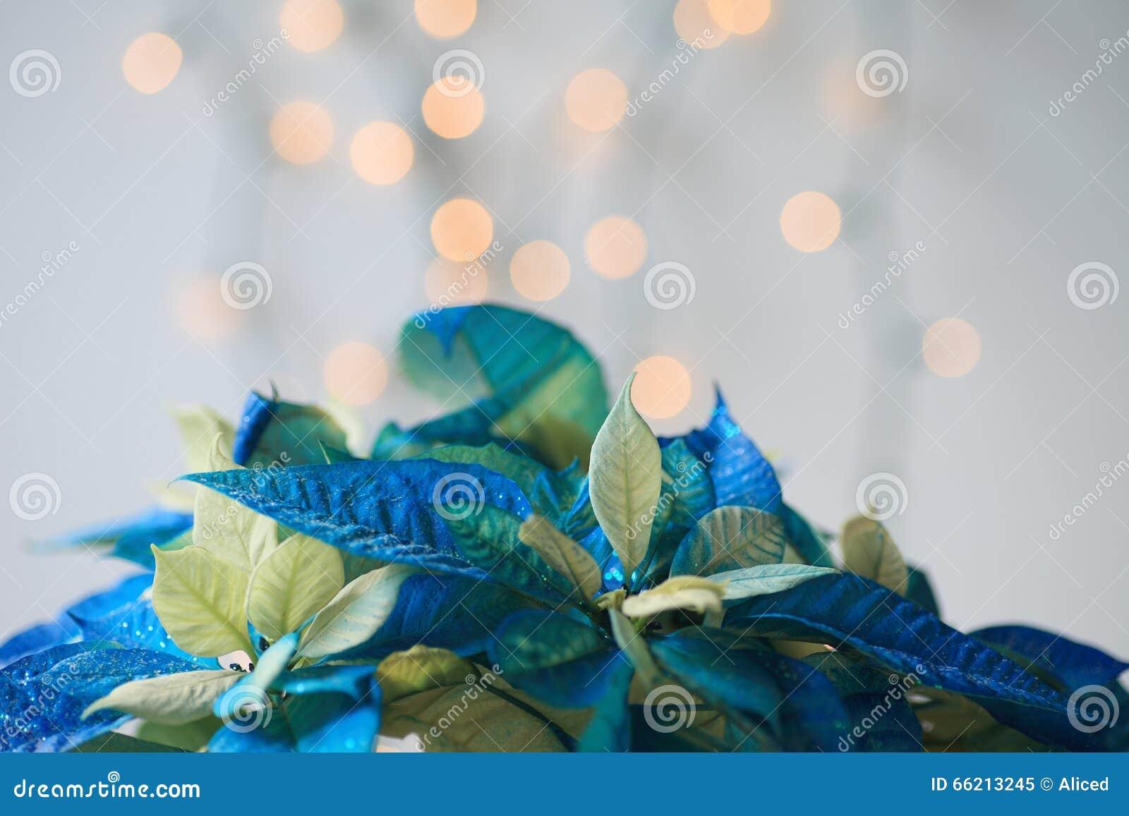 Pianta Stella Di Natale Prezzo.Stella Di Natale Blu Con Scintillio Immagine Stock Immagine Di