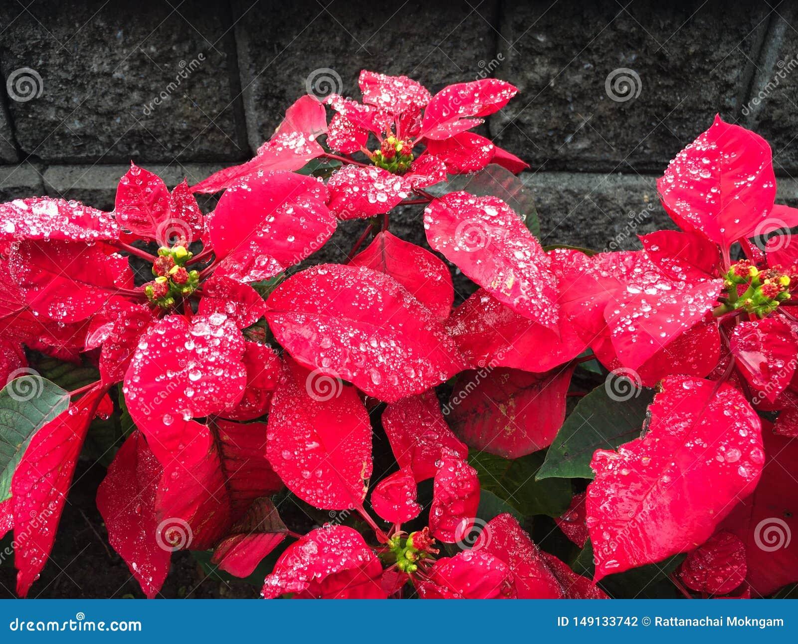 Acqua Stella Di Natale.Stella Di Natale Rossa Del Fiore Di Natale Con Le Goccioline Di Acqua Fotografia Stock Immagine Di Fresco Visualizzazione 149133742