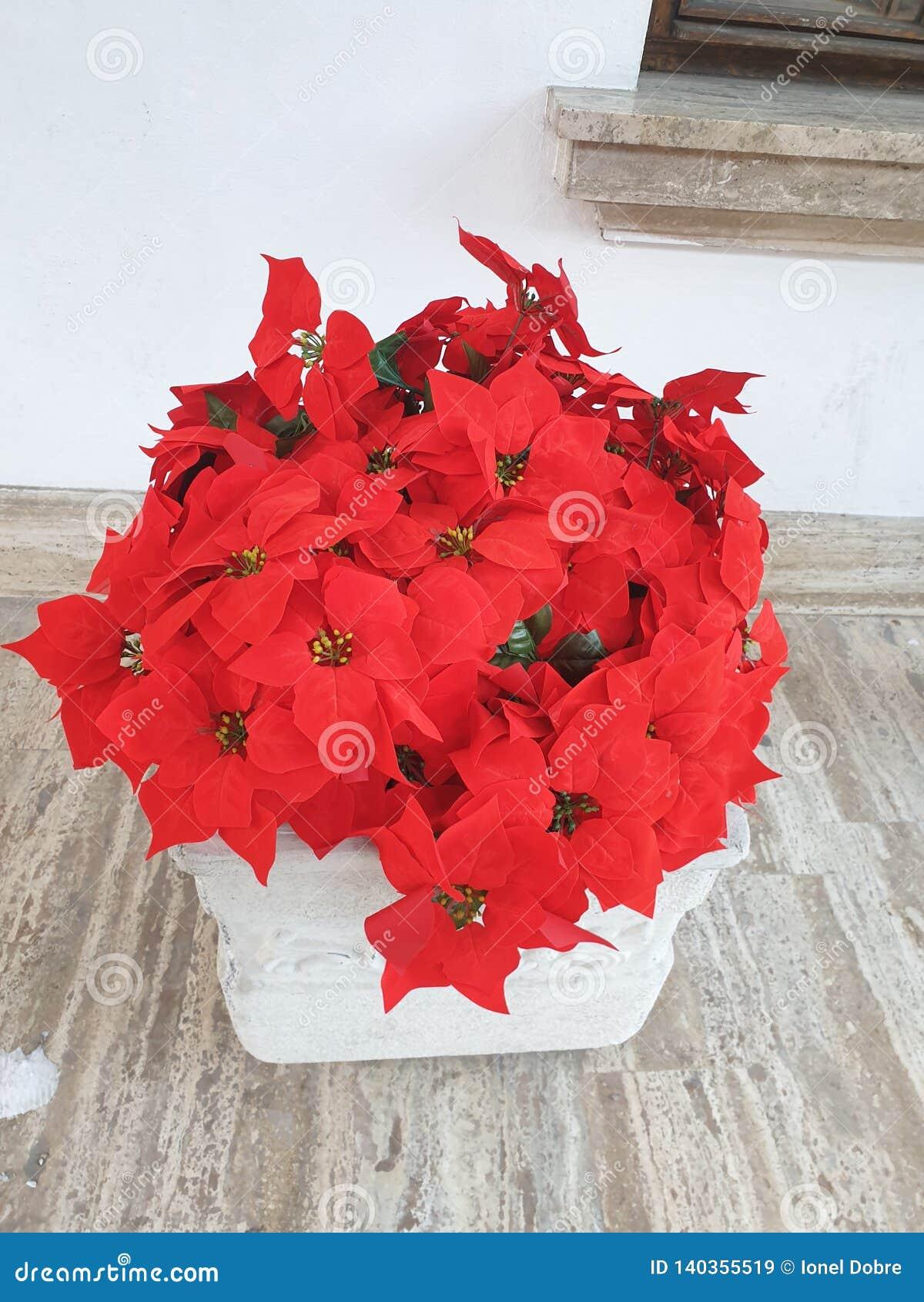Stella di Natale - rossa, fiori del beutifull
