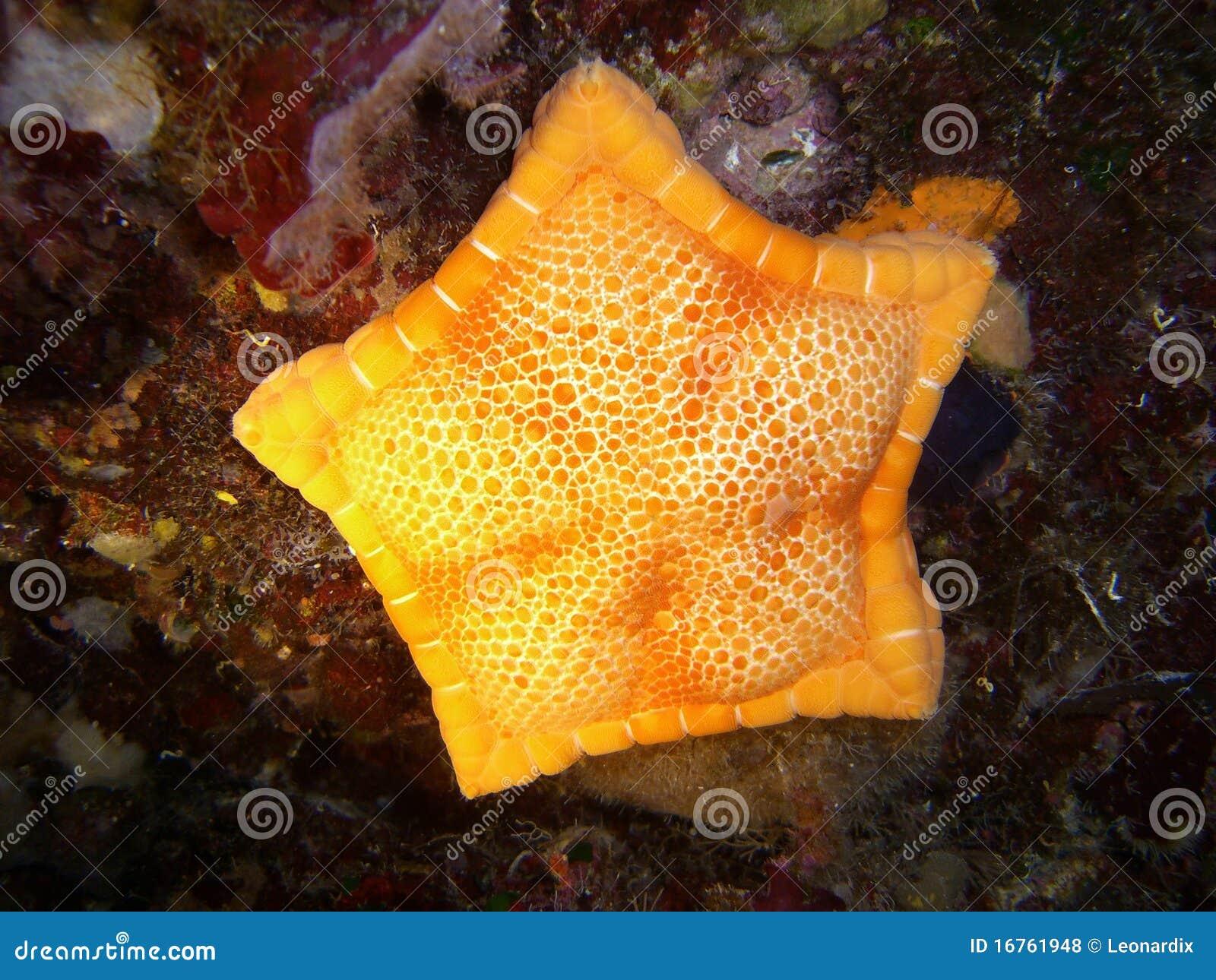 stella marina gialla fotografie stock libere da diritti - immagine