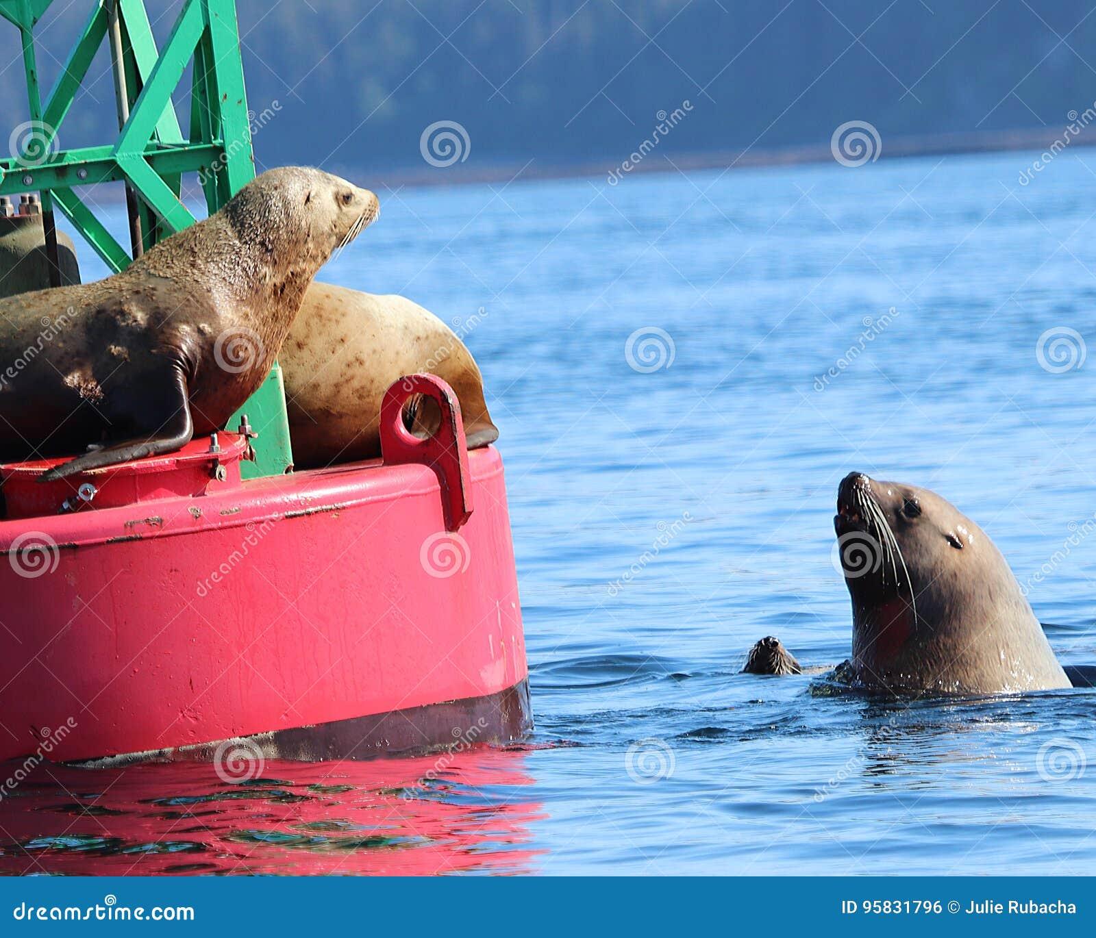 Stellar Sea Lions fighting over buoy