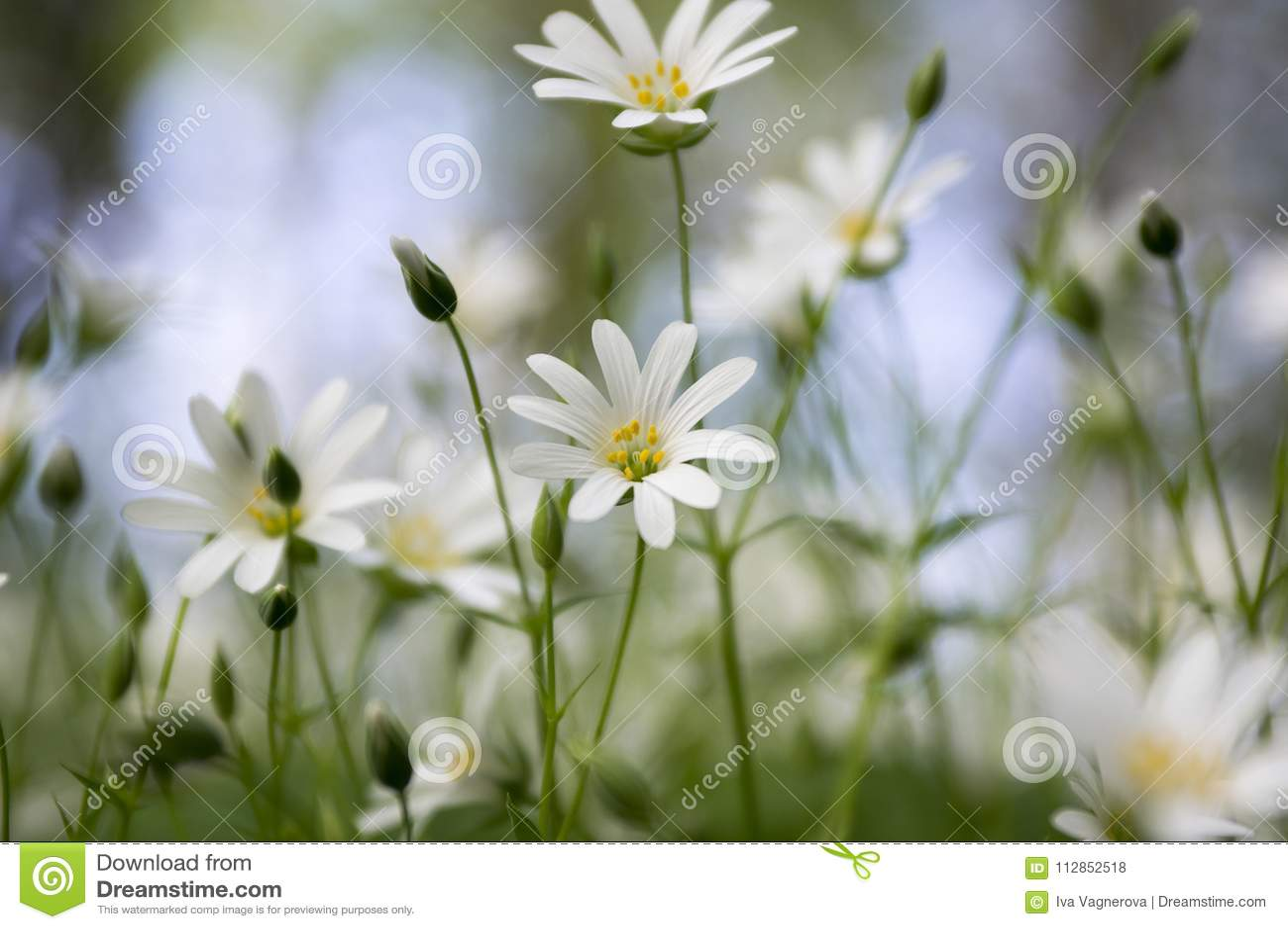 Stellaria Holostea Greater Stitchwort Perennial Flowers In Bloom