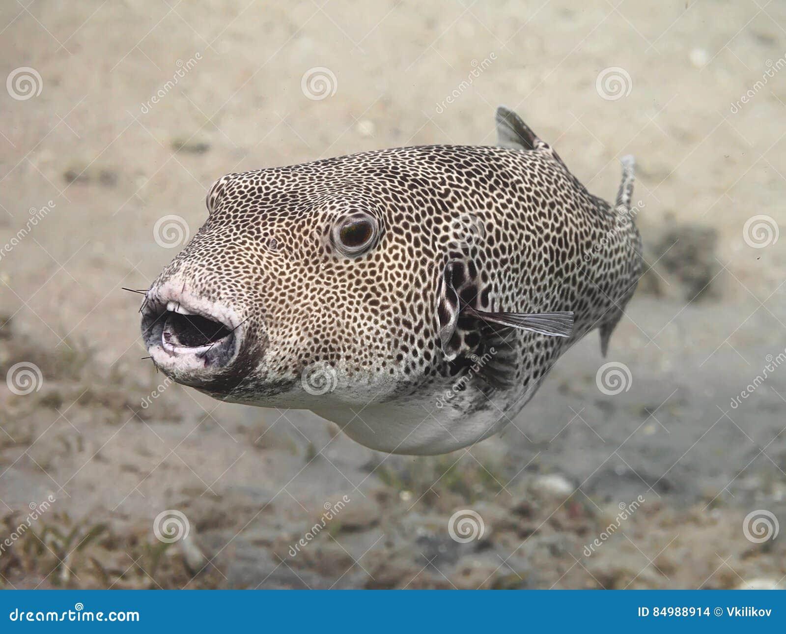Stellate pufferfiskArothron stellatus, också som är bekant som staen