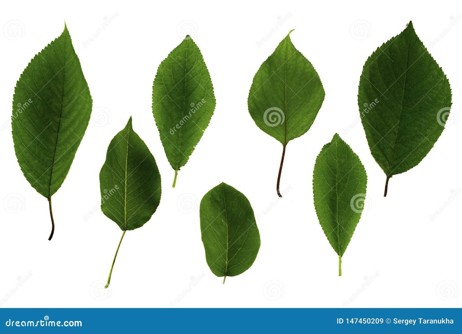 Stellen Sie von den grünen Blättern von den Obstbäumen ein, die auf weißem Hintergrund lokalisiert werden