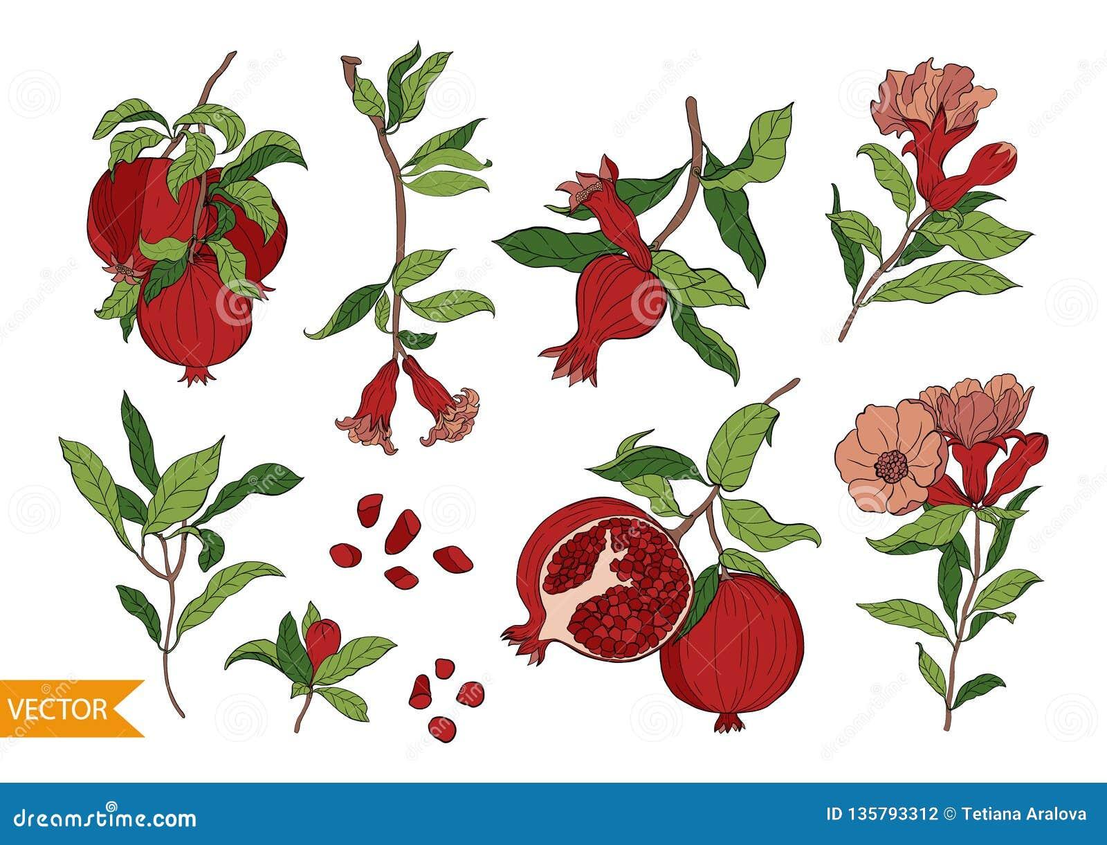 Stellen Sie von 10 Granatapfelelementen, -blumen und -blättern ein Handgezogene Fruchtart Vektor