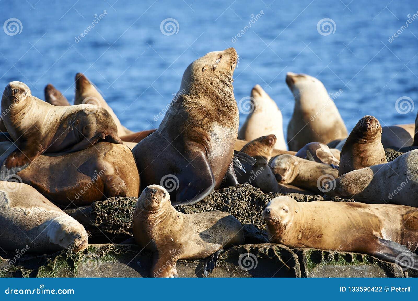 Steller Sea Lion Eumetopias jubatus