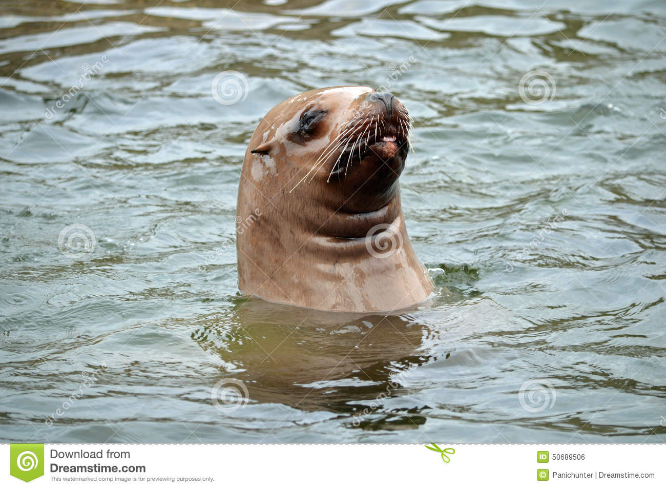 Steller Sea Lion looks above water and sticking it s tongue out