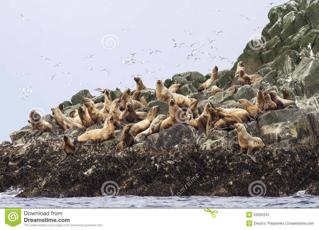 Steller sea lion rookery on cliffs of the island