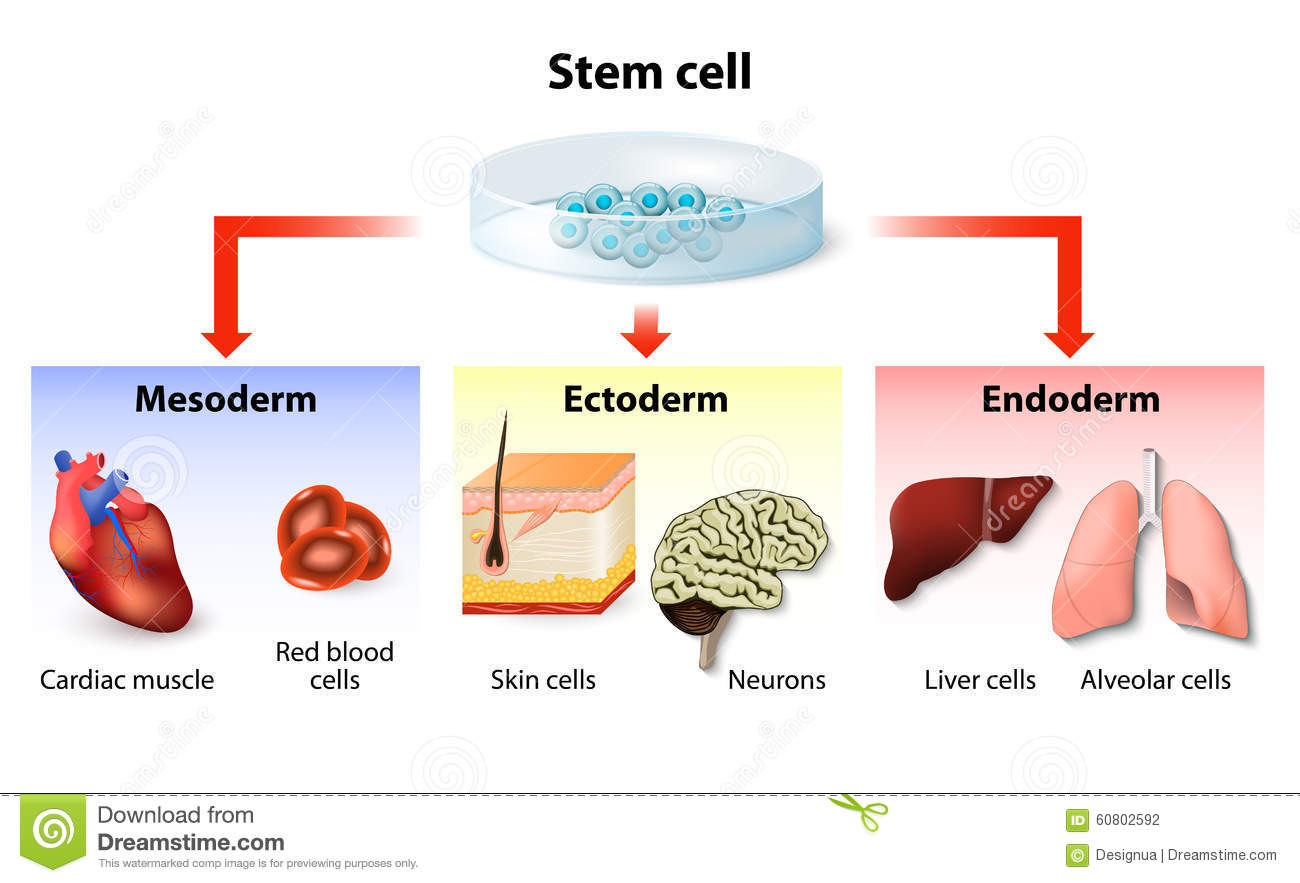 stem cell and embryonic stem cell Embryonic stem cells (often referred to as es cells) are stem cells that are derived from the inner cell mass of a mammalian embryo at a very early stage of development, when it is composed of a hollow sphere of dividing cells (a blastocyst) embryonic stem cells from human embryos and from embryos.