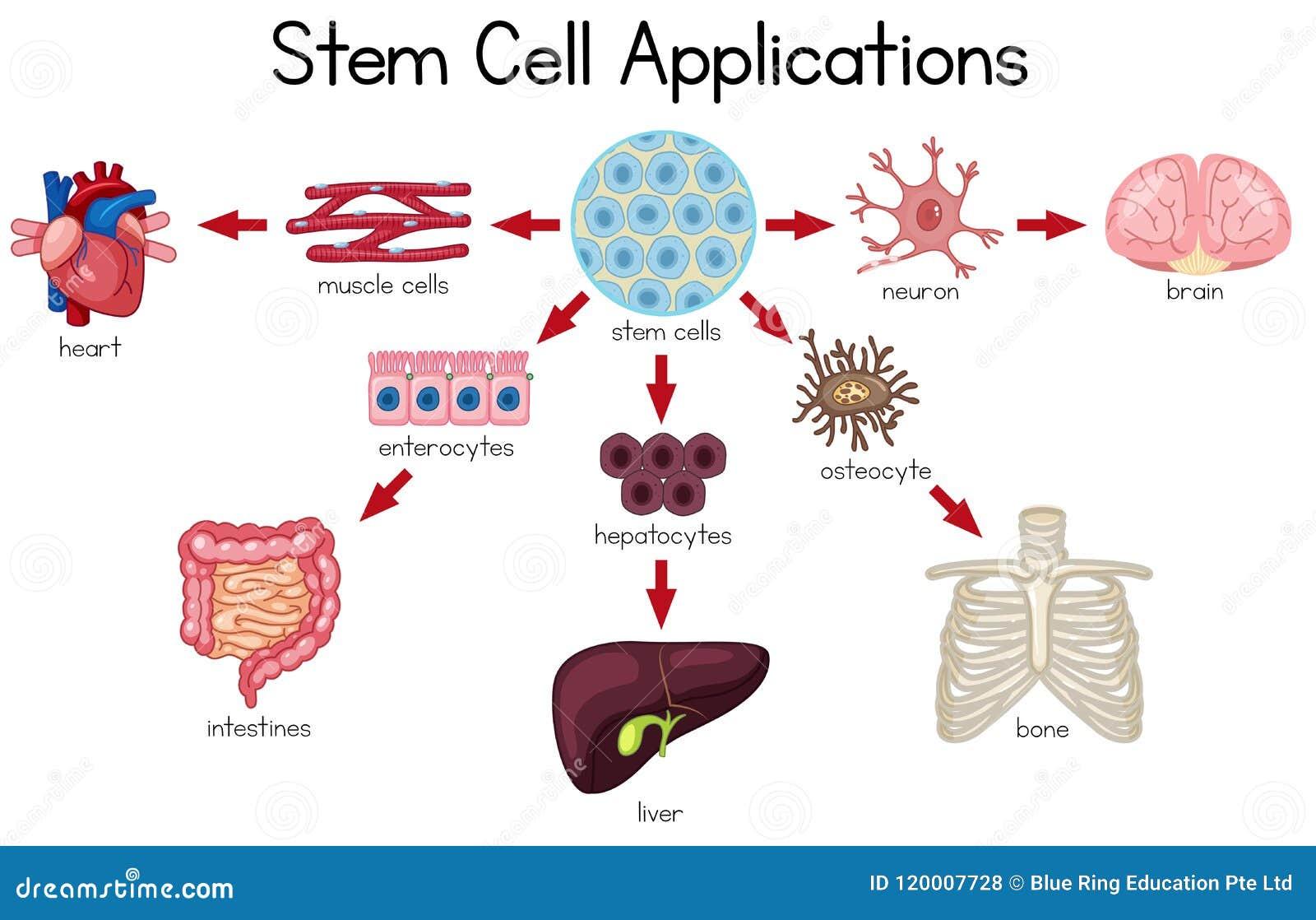 Stem Cell Applications diagram
