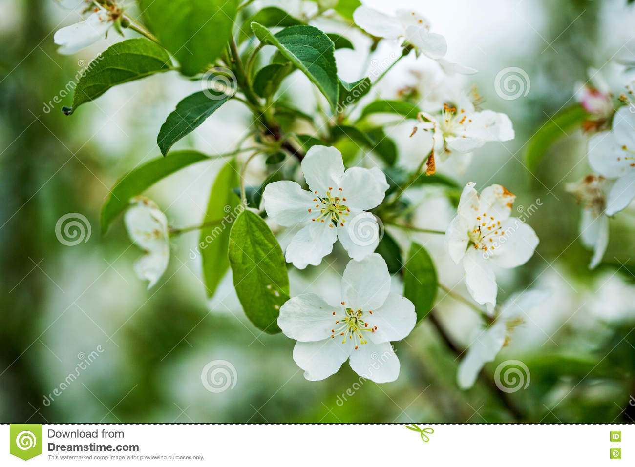 Attractive Fruit Tree Flowers Part - 9: Blooming Close Fruit Tree ...