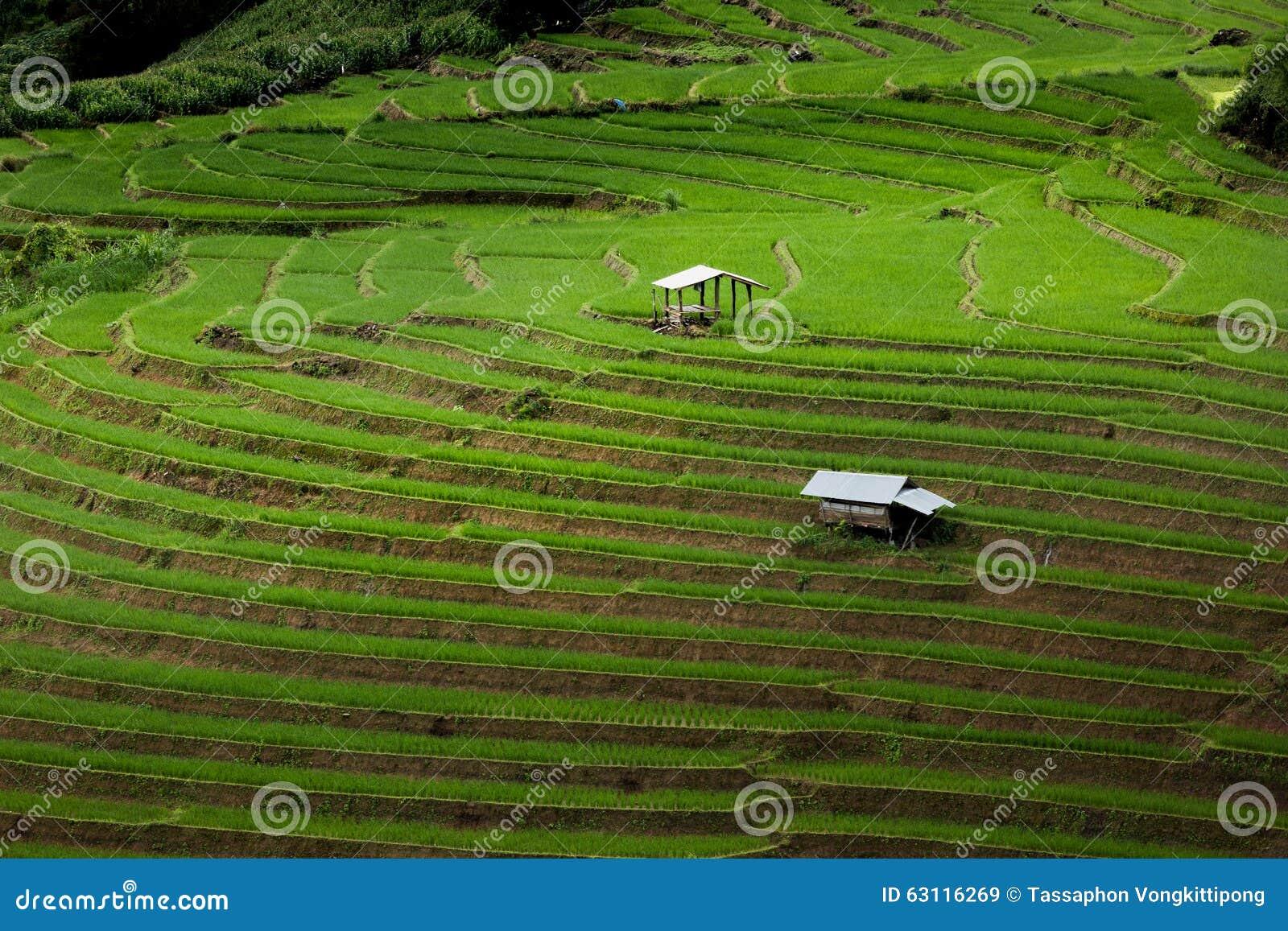 Rice Farming & Processing Business Plan In Nigeria Feasibility Studies PDF