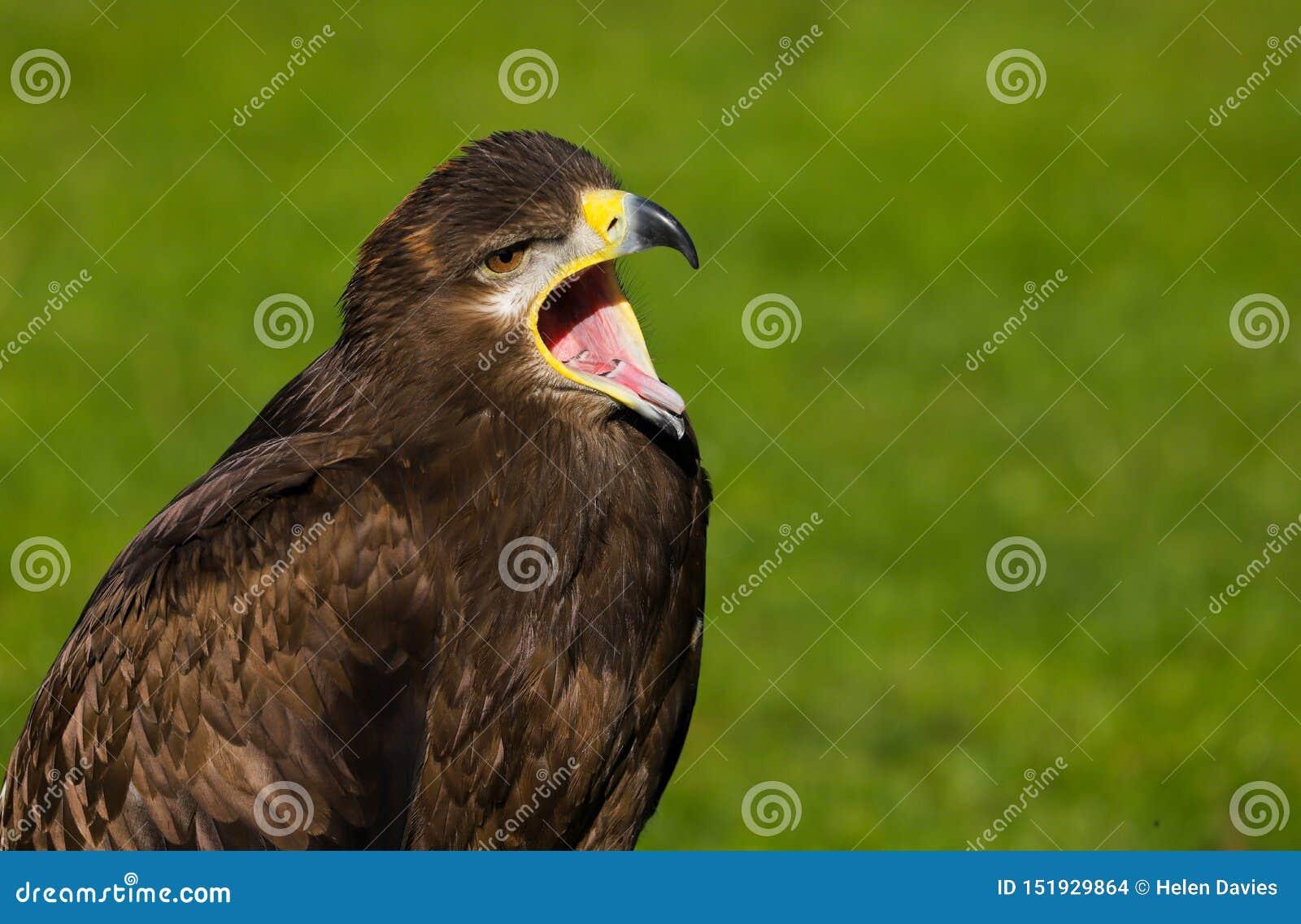 Stepowy Eagle Aquila nipalensis ptak zdobycz
