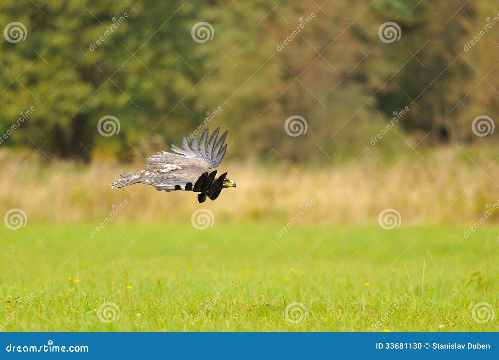 Stepowy Eagle latanie nad ziemia
