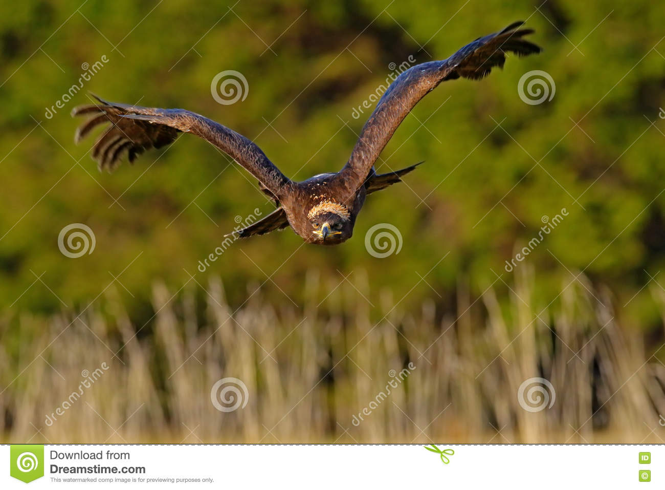 Steppe Eagle, Aquila nipalensis, bird moving action scene, flying dark brawn bird of prey with large wingspan, Sweden