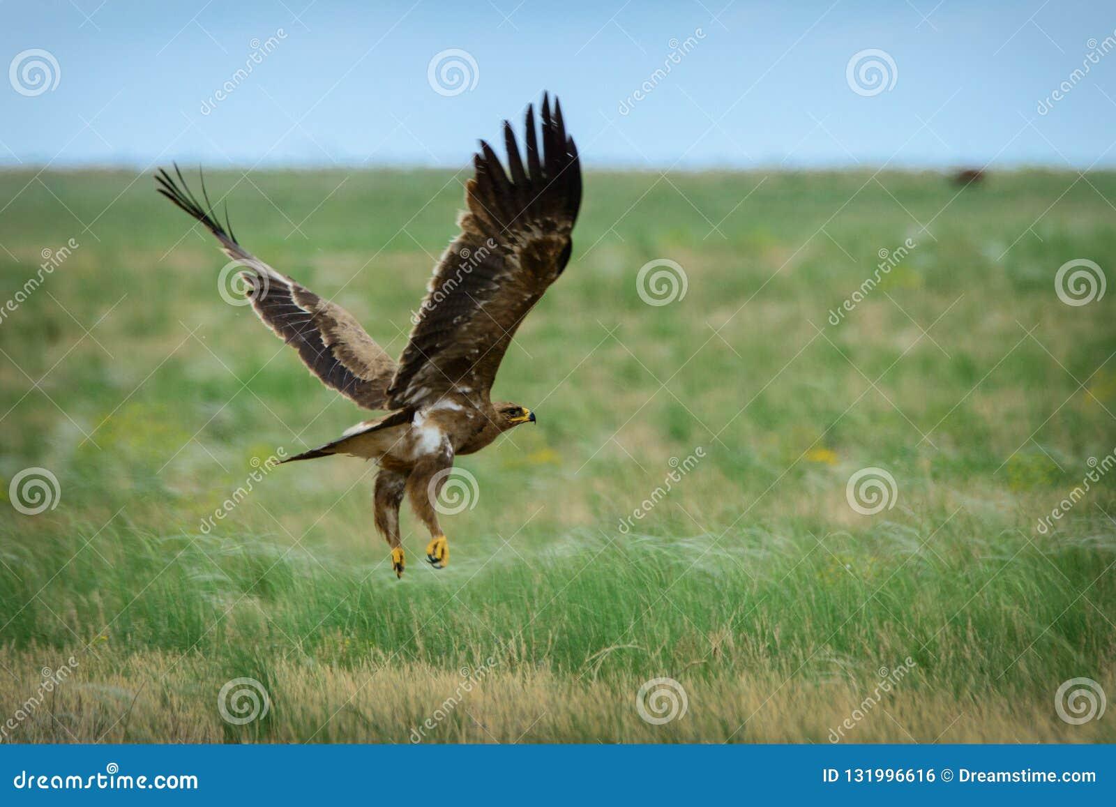 Steppe eagle flying