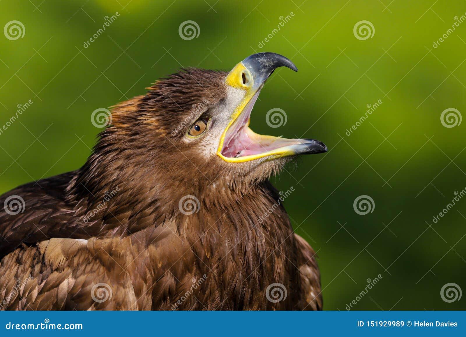 Steppenadleraquila-nipalensis Raubvogel