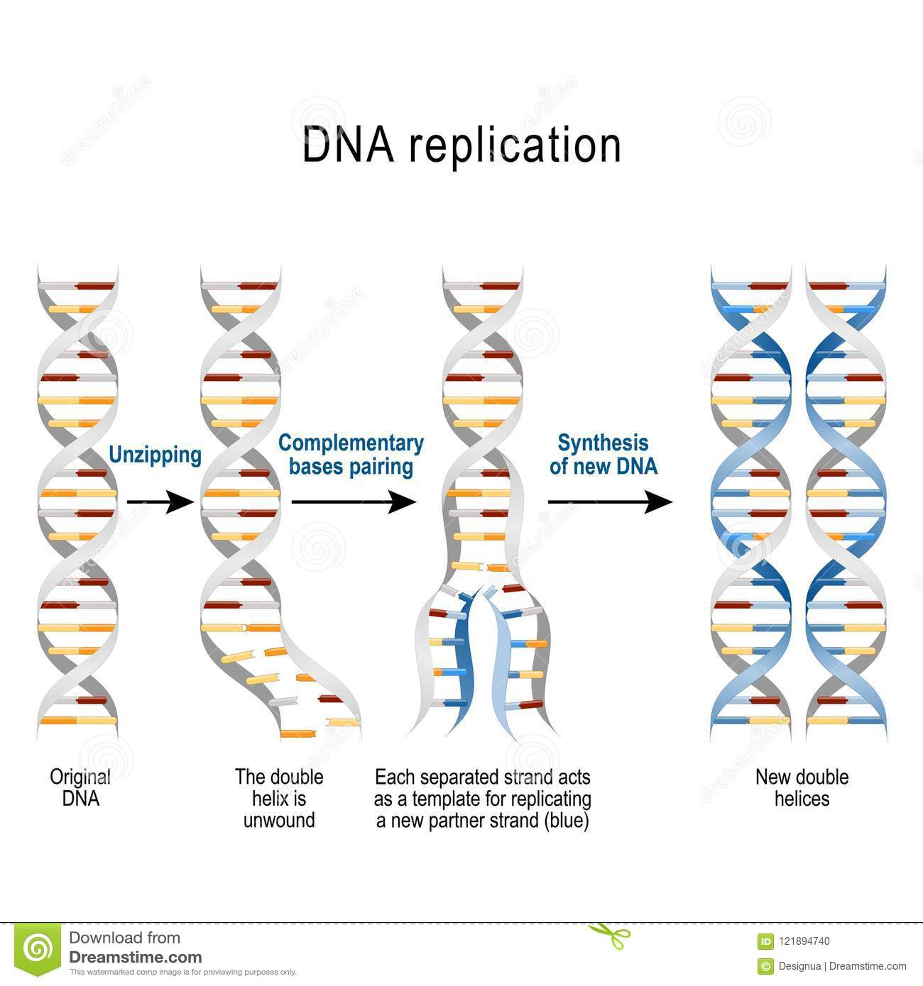 Steps of DNA replication stock vector. Illustration of biochemistry ...