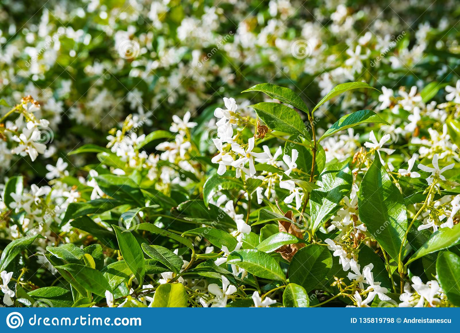 Ster Jasmine Trachelospermum dat jasminoides in een openbare tuin, Californië bloeit