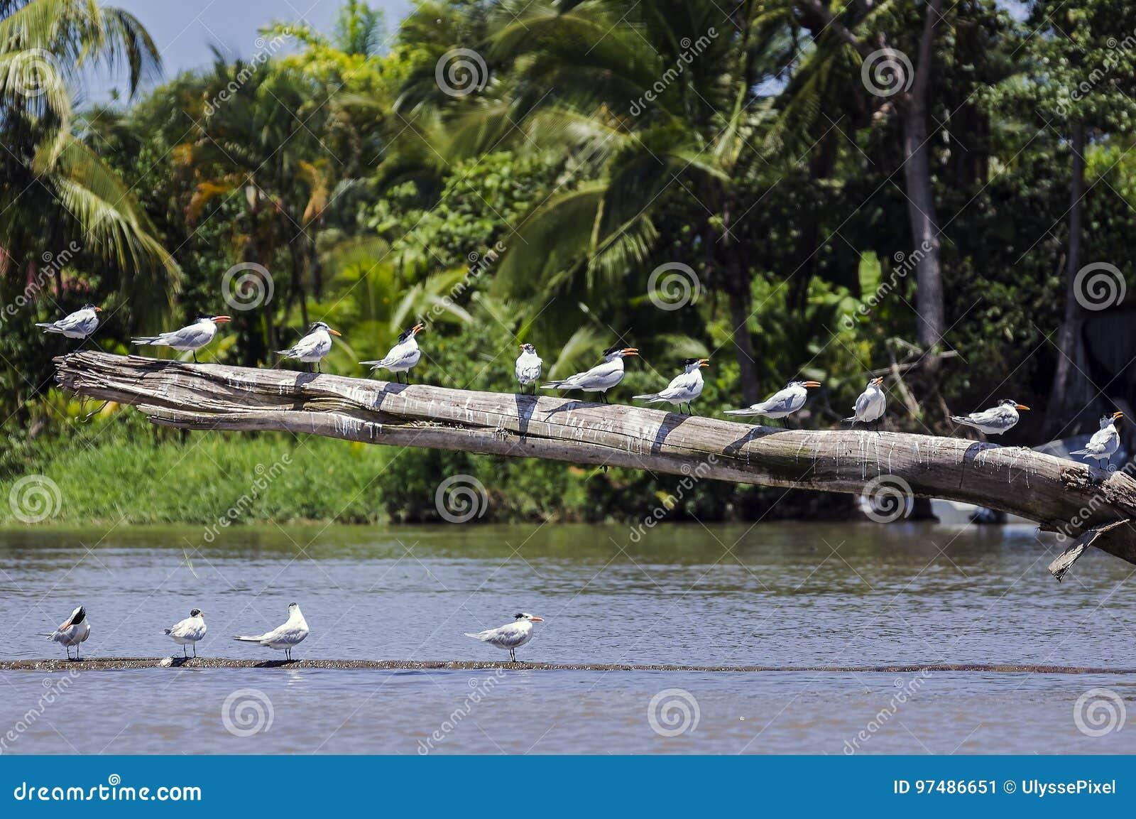 Sterne reali su un estuario del fiume di connessione - Costa Rica