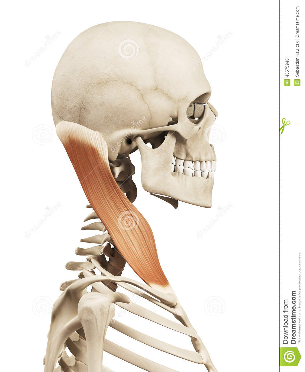 The sternocleidomastoid stock illustration. Illustration of skeleton ...