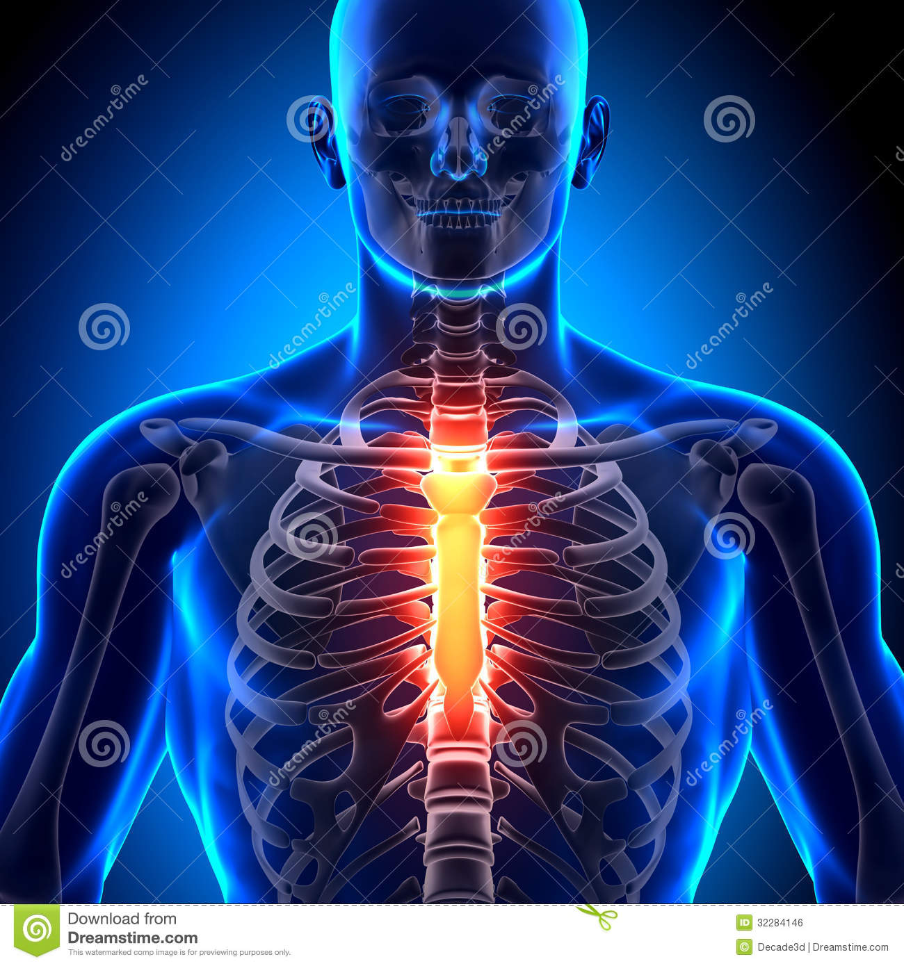Royalty Free Stock Image Sternum Anatomy Bones Medical Imaging Image32284146