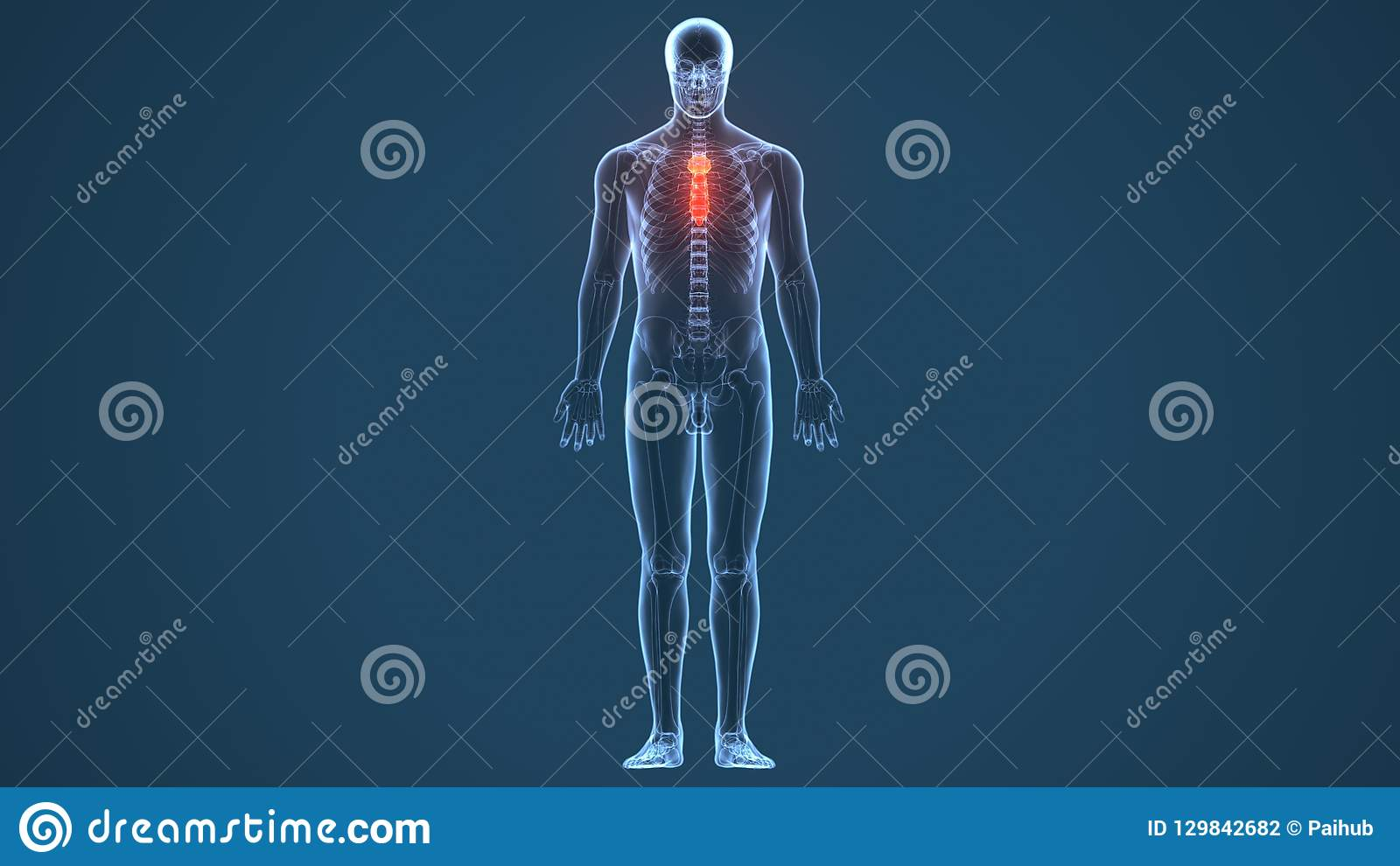 3d Illustration Of Sternum Part Of Human Skeleton Stock