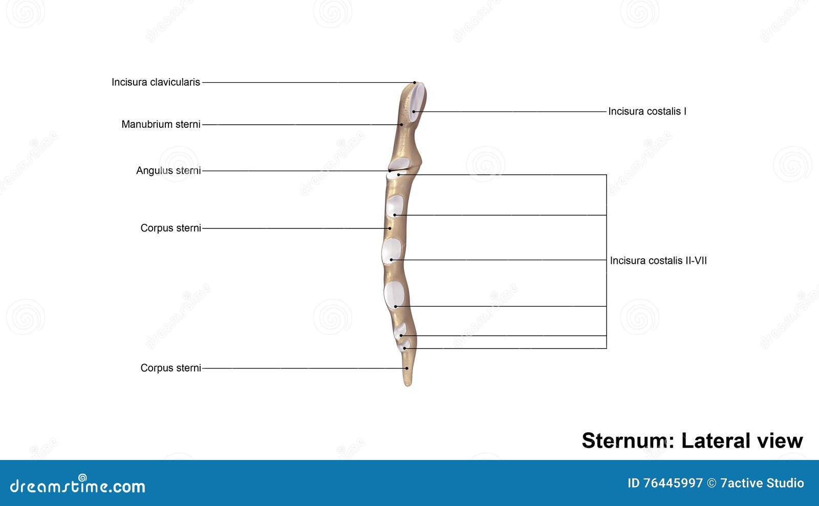 Wunderbar Wo Ist Sternum Zeitgenössisch - Menschliche Anatomie ...