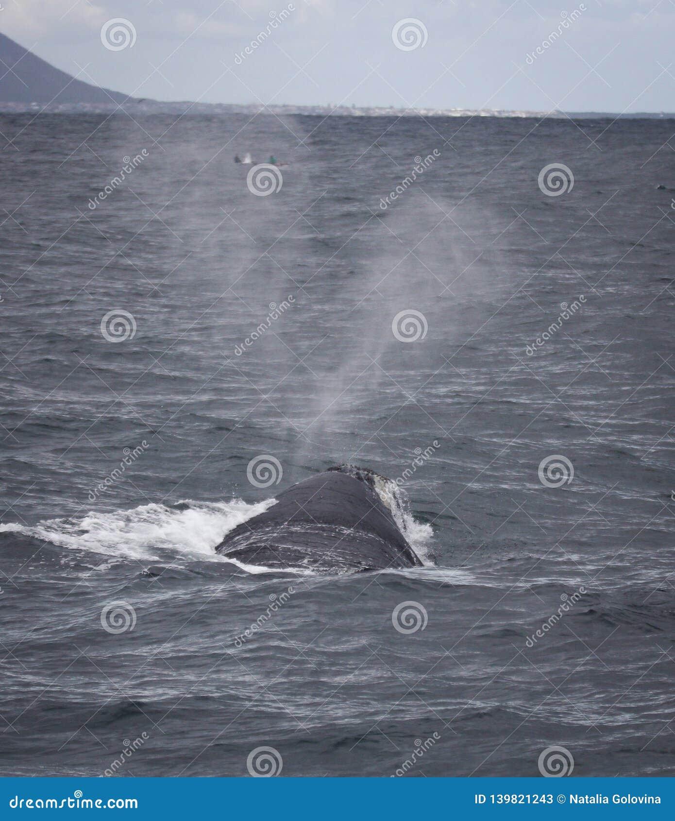 Steun van een Zuidelijke Juiste Walvis die dichtbij Hermanus, Westelijke Kaap zwemmen Beroemde wijngaard Kanonkop dichtbij schild