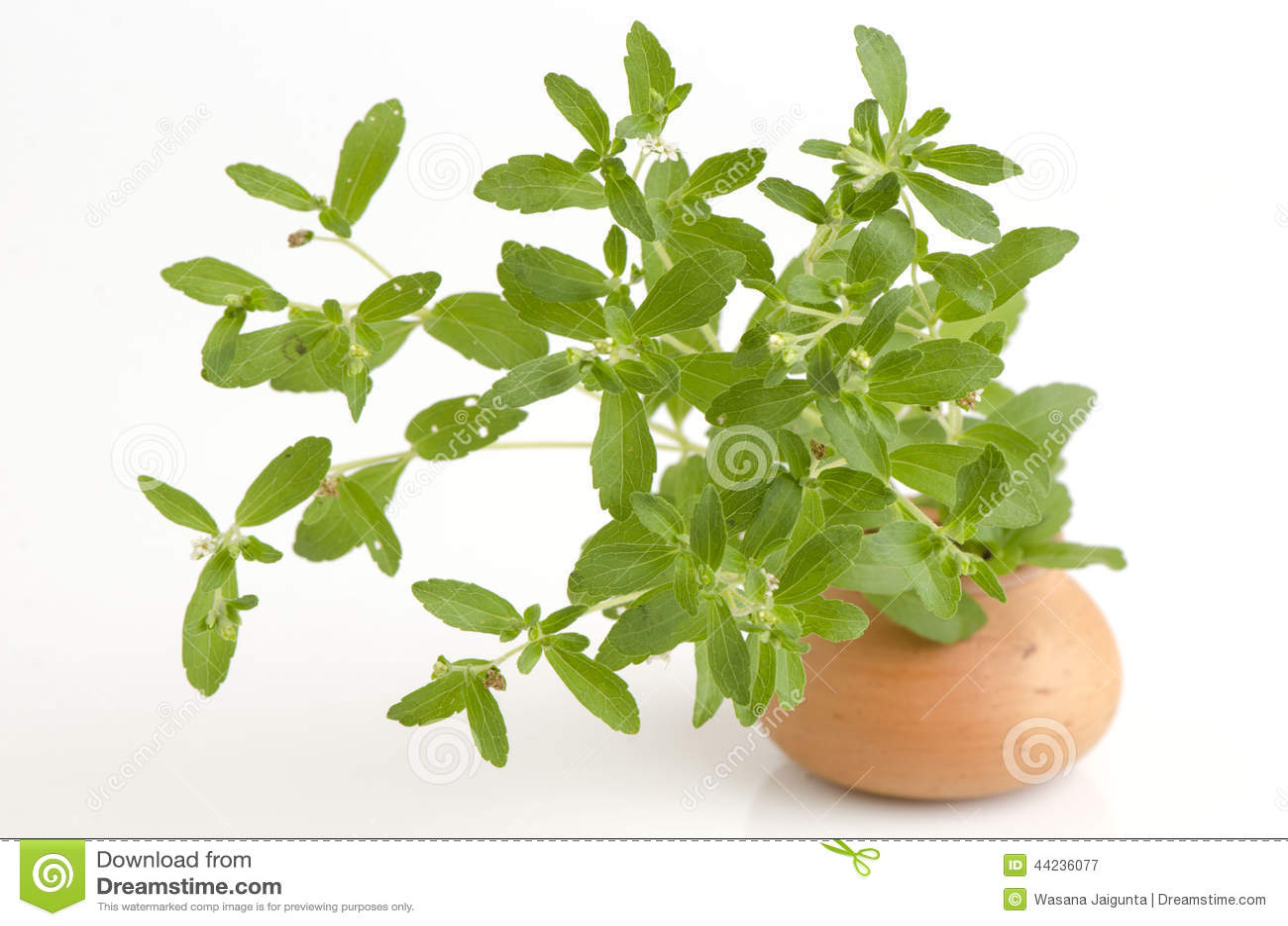 stevia rebaudiana bertoni trees stock photo image 44236077. Black Bedroom Furniture Sets. Home Design Ideas