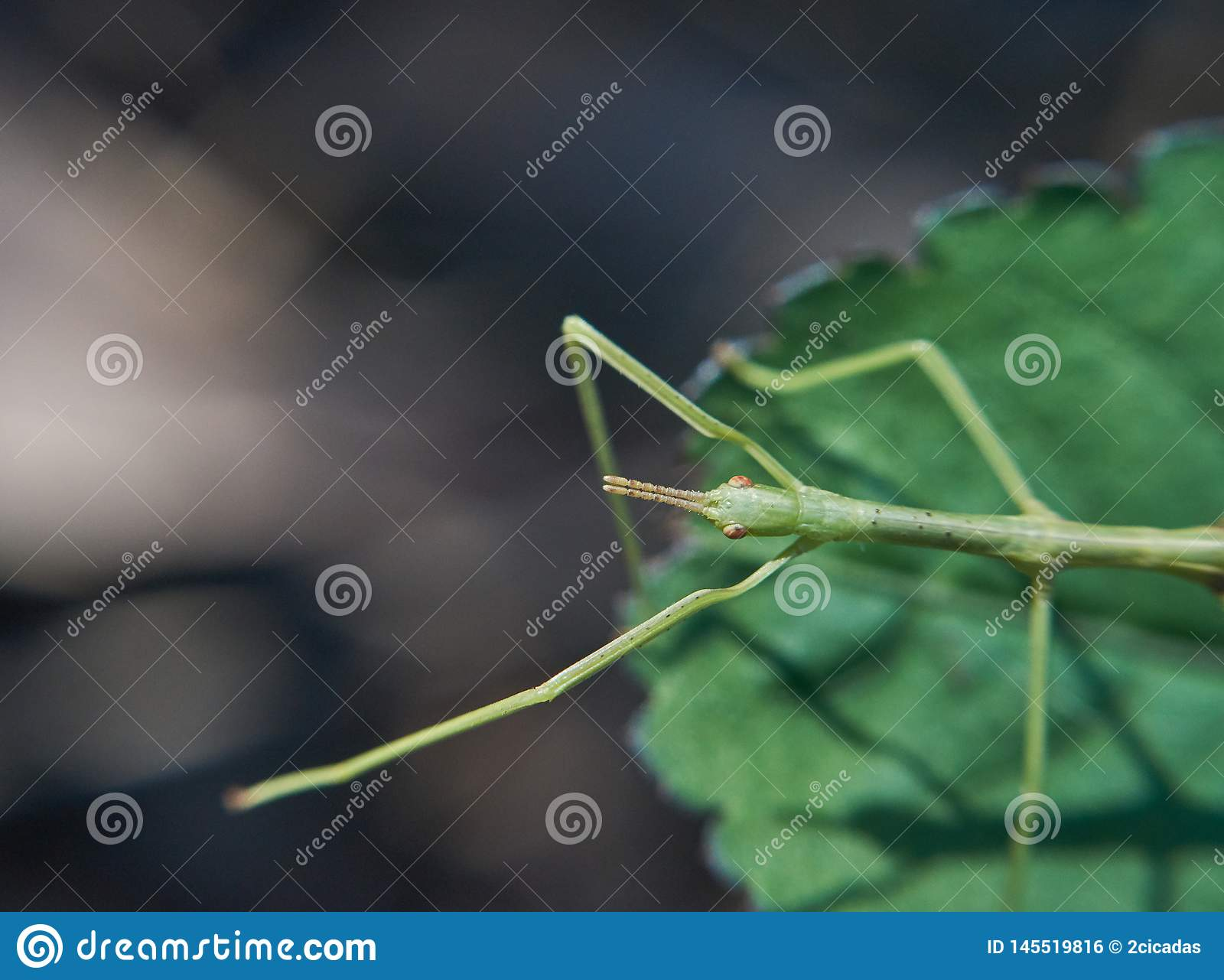 Stick Insect(Phasmatodea) on Leaf - Reaching Out