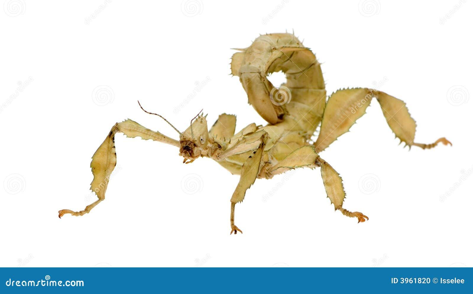 Stick Insect Phasmatodea Extatosoma Tiaratum Stock Photo Image