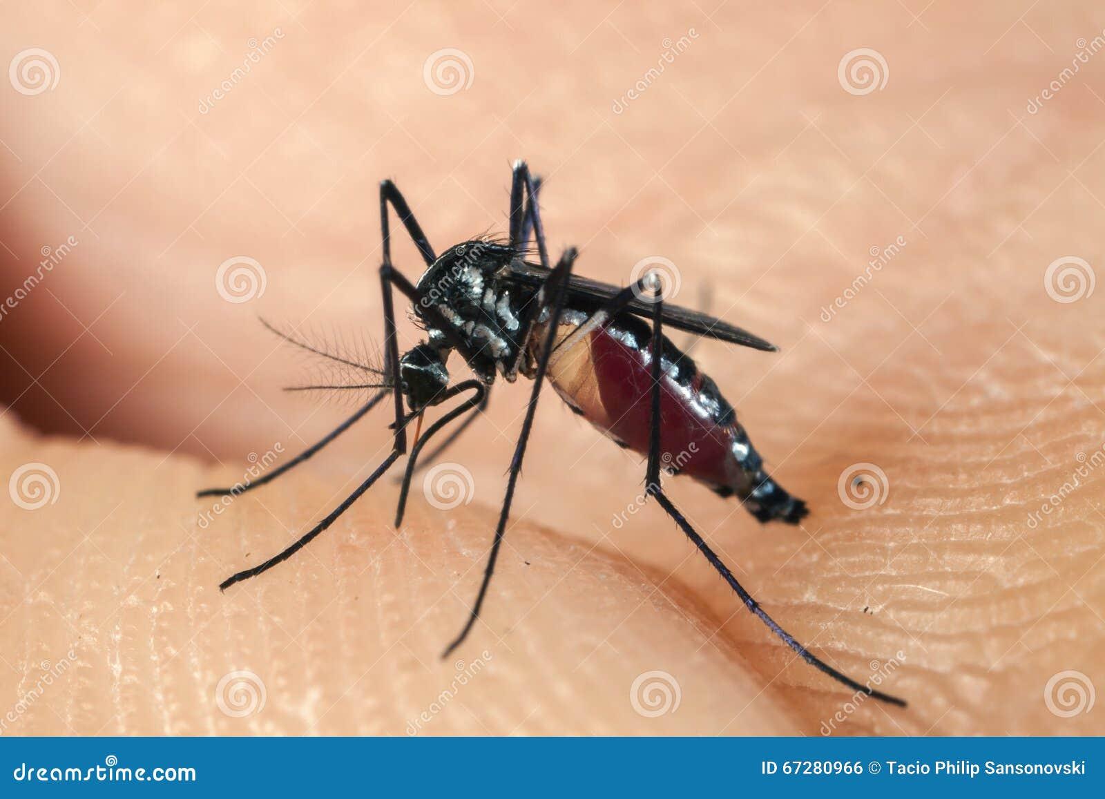 Stickande mänsklig hud för mygga