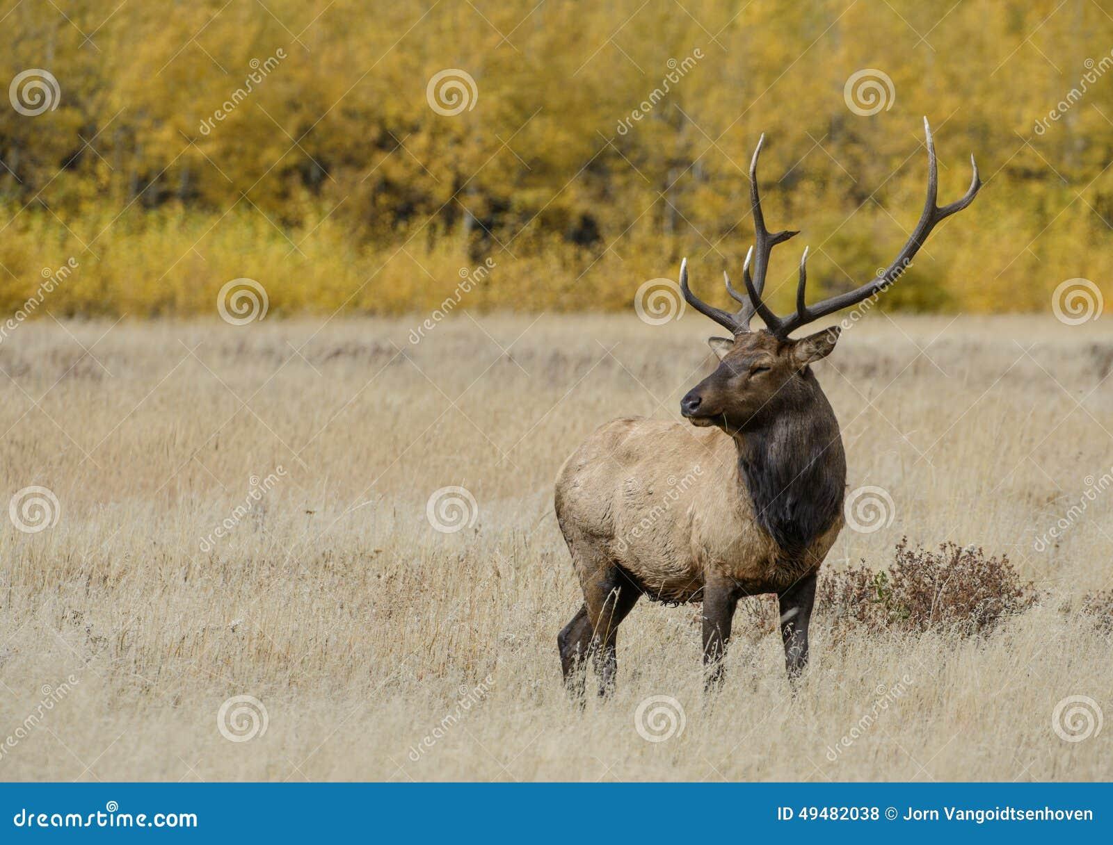 Stier-Elche in den Fallfarben