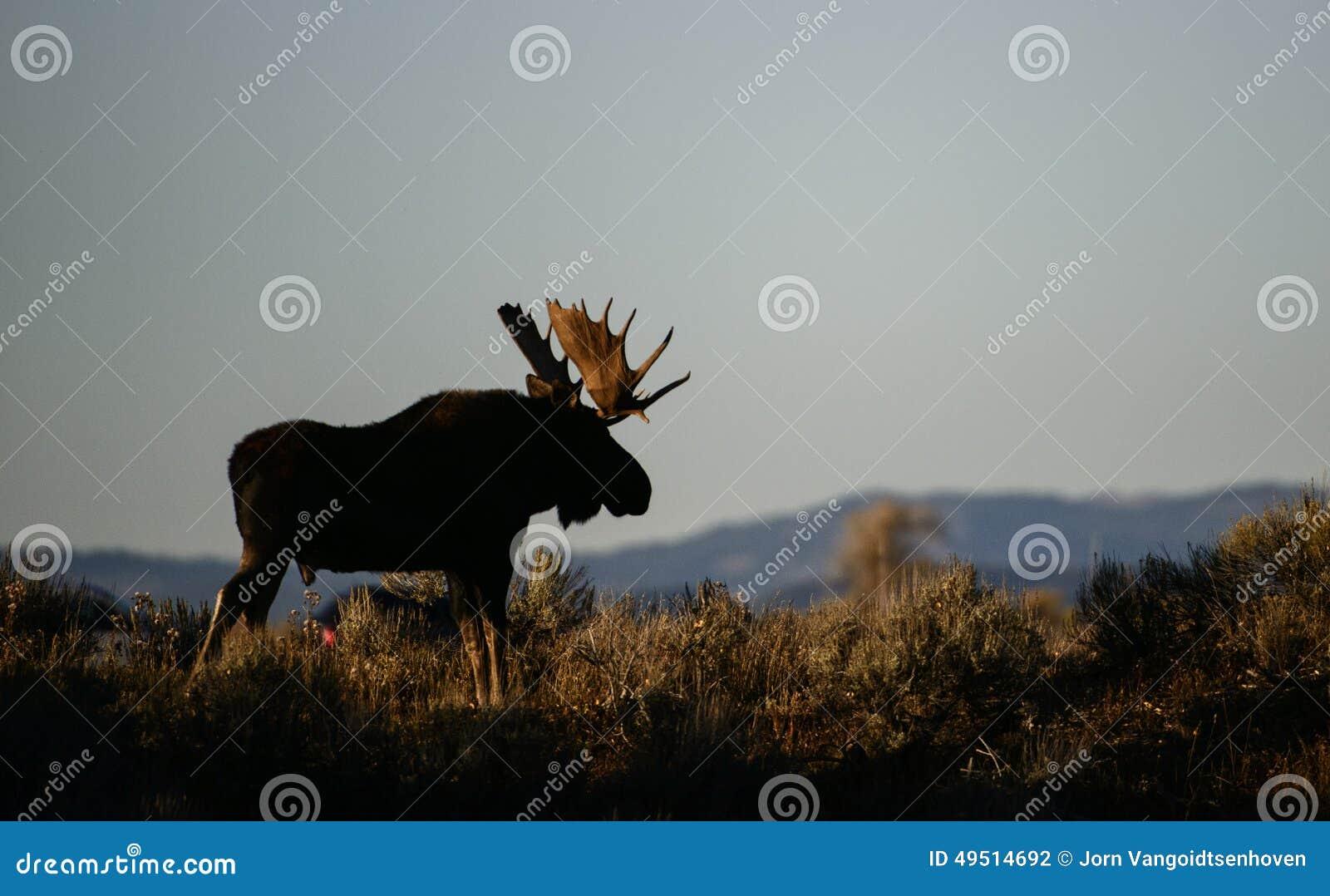 Stier-Elche nach Sonnenuntergang