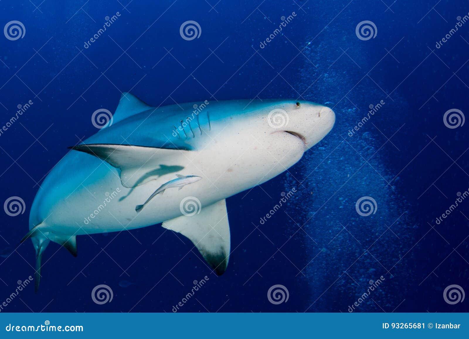 Stier-Haifisch bereit, im blauen Ozeanhintergrund anzugreifen