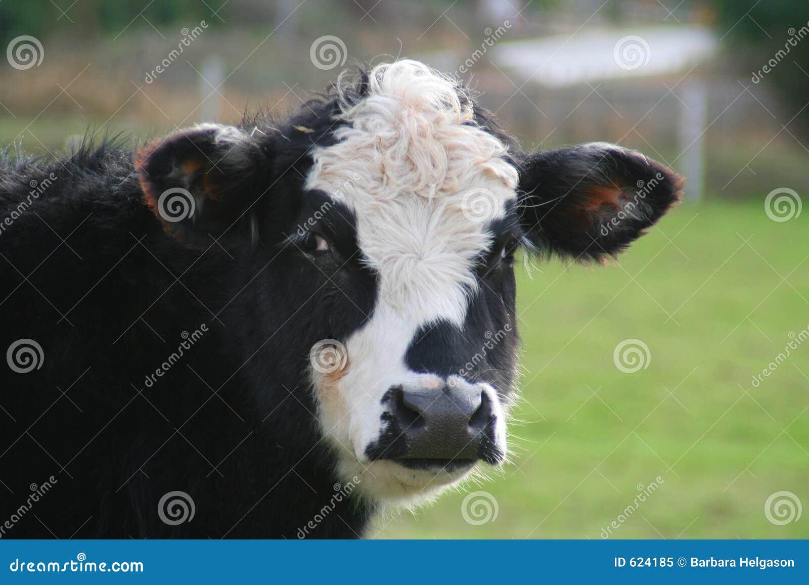 Stier of koe?