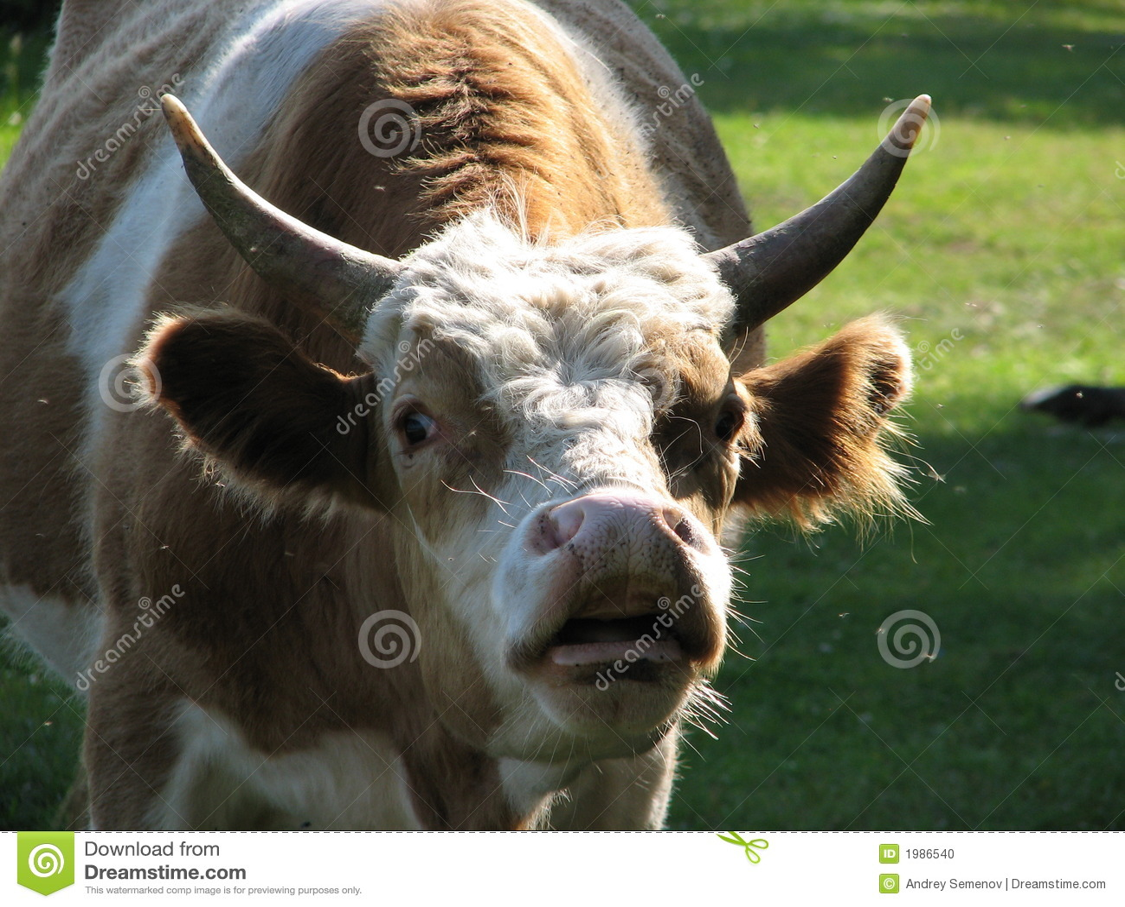 Stier met grote vooruitstekende ogen