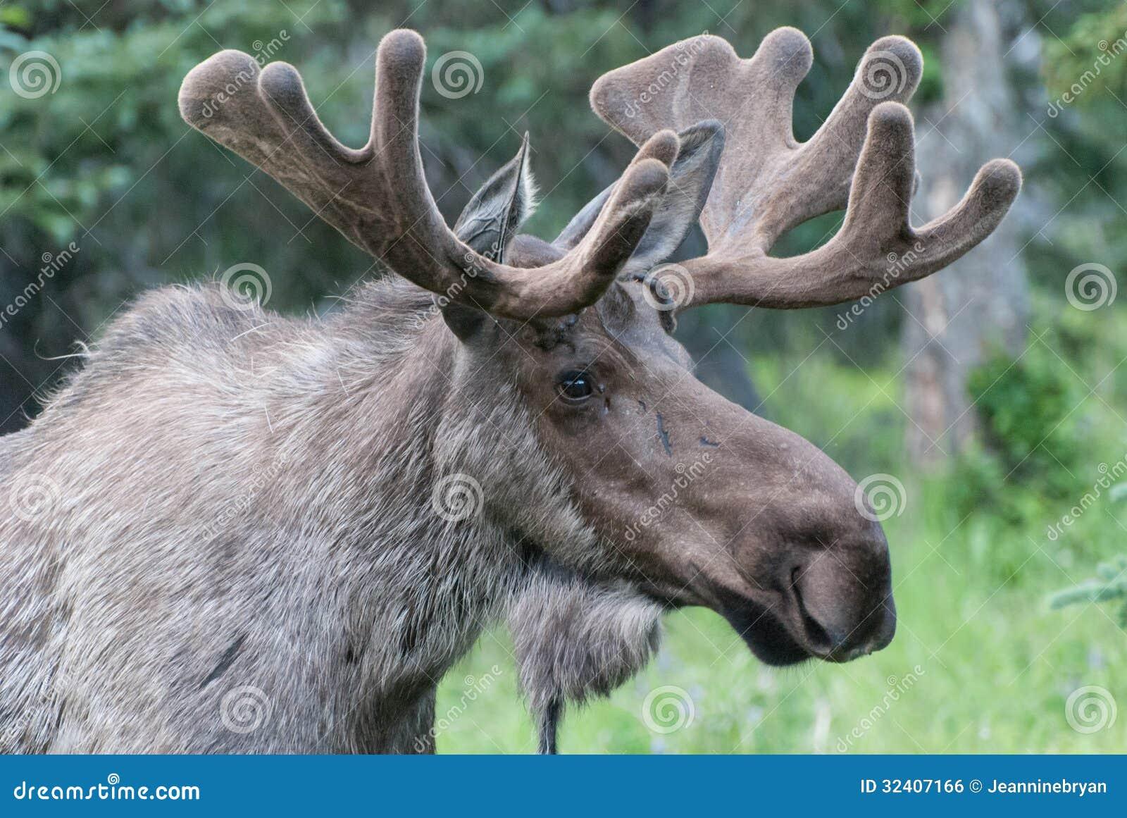 Stierenamerikaanse elanden