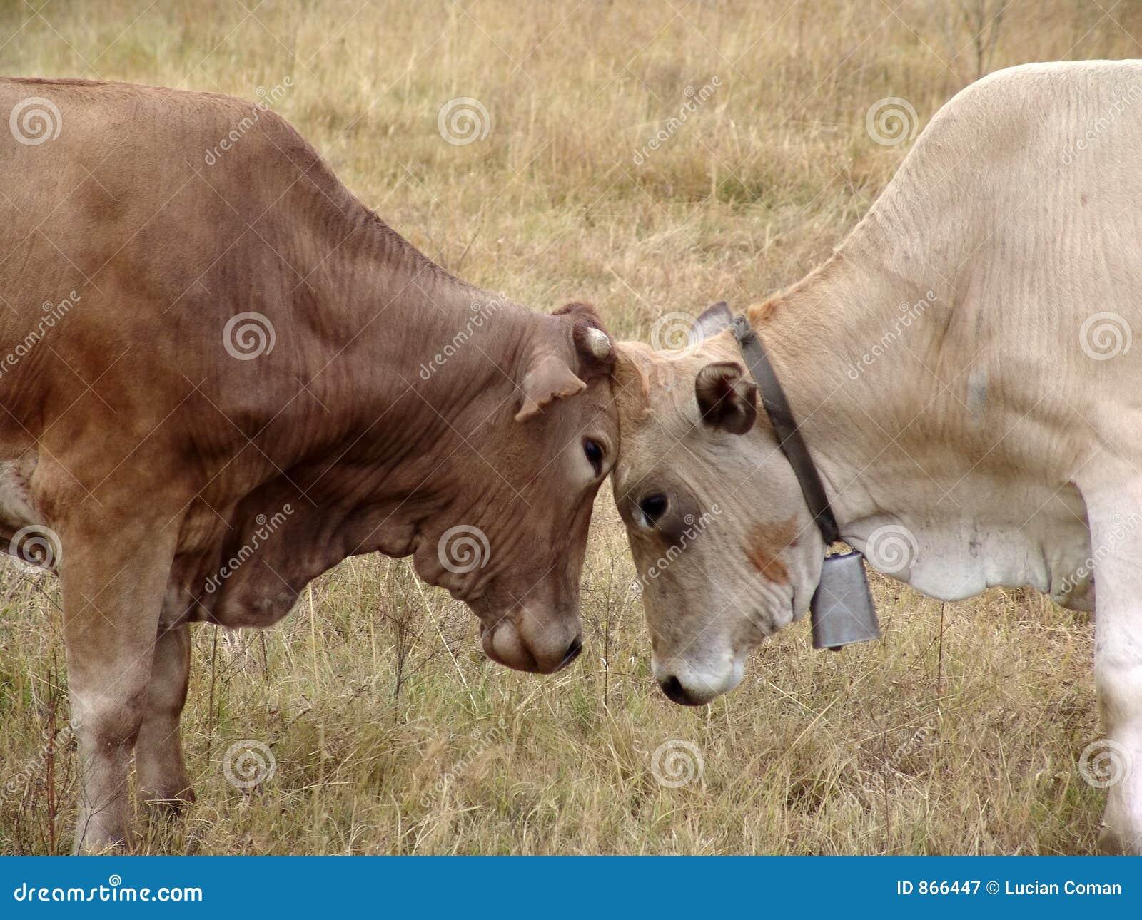 Stierkämpfen