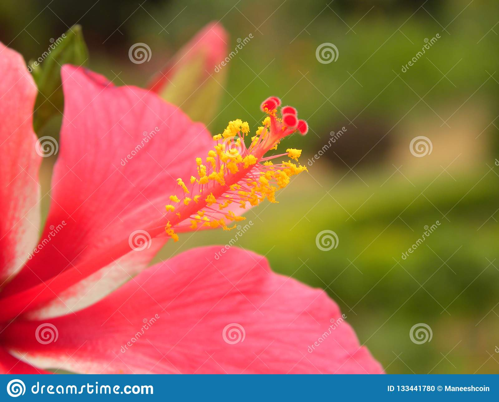 Stigma Of Hibiscus Rosa Sinensis Stock Photo Image Of Floral