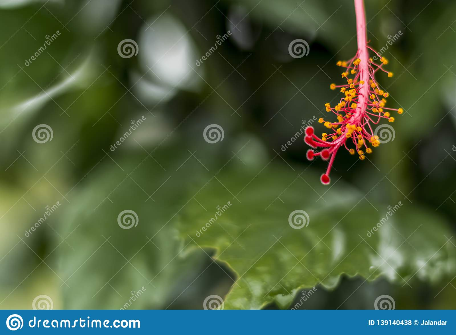 Stigma Style Of A Hibiscus Flower Stock Photo Image Of Bush
