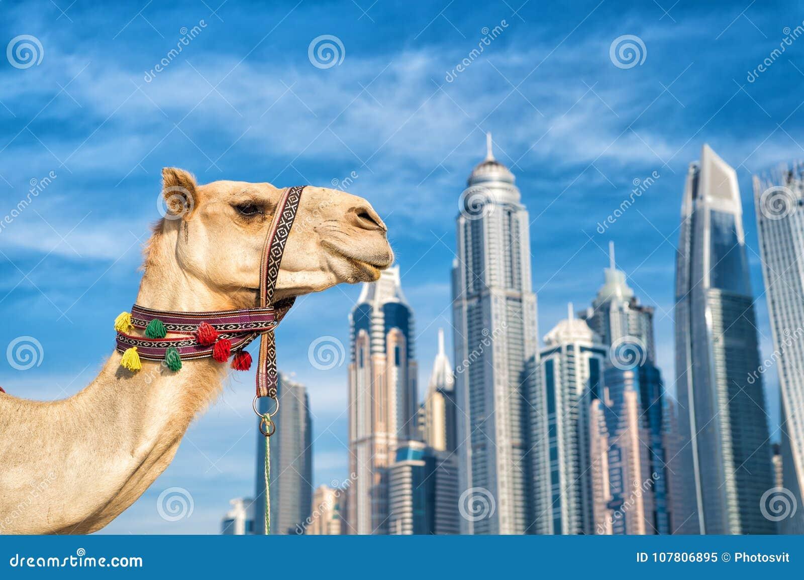Stil för strand för marina JBR för UAE Dubai: kamel och skyskrapor modern byggnadsaffärsstil UAE-historia och modernt