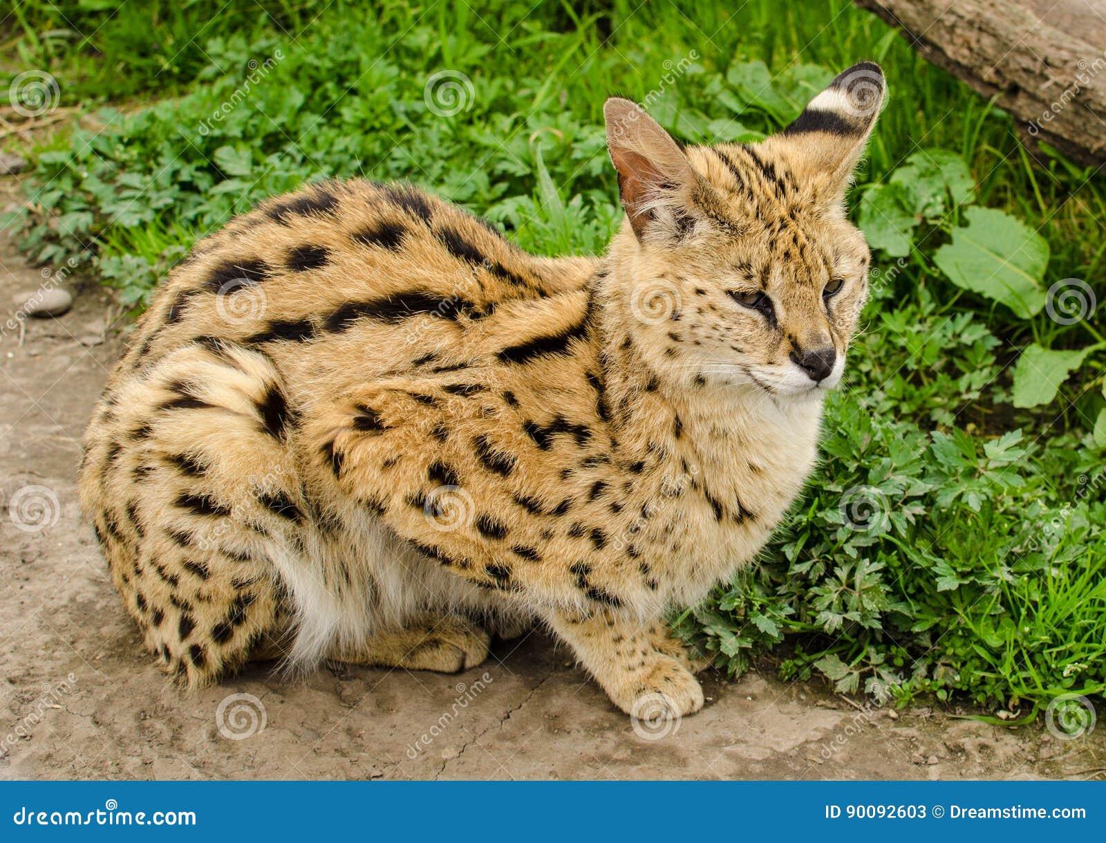 Stil Lynx