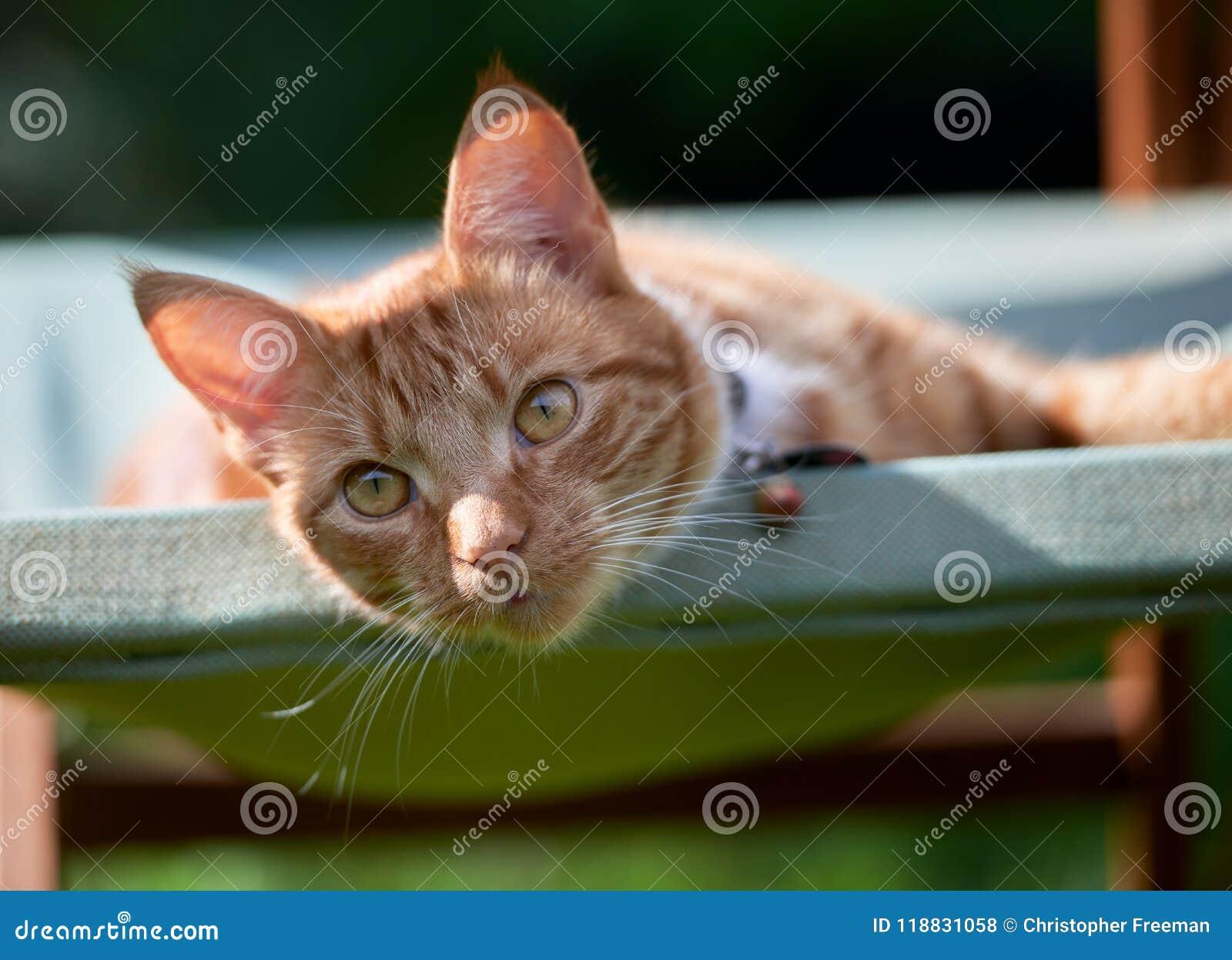 Stilig ung ljust rödbrun röd strimmig kattkatt som lägger på en grön trädgårds- stol som ser kopplad av