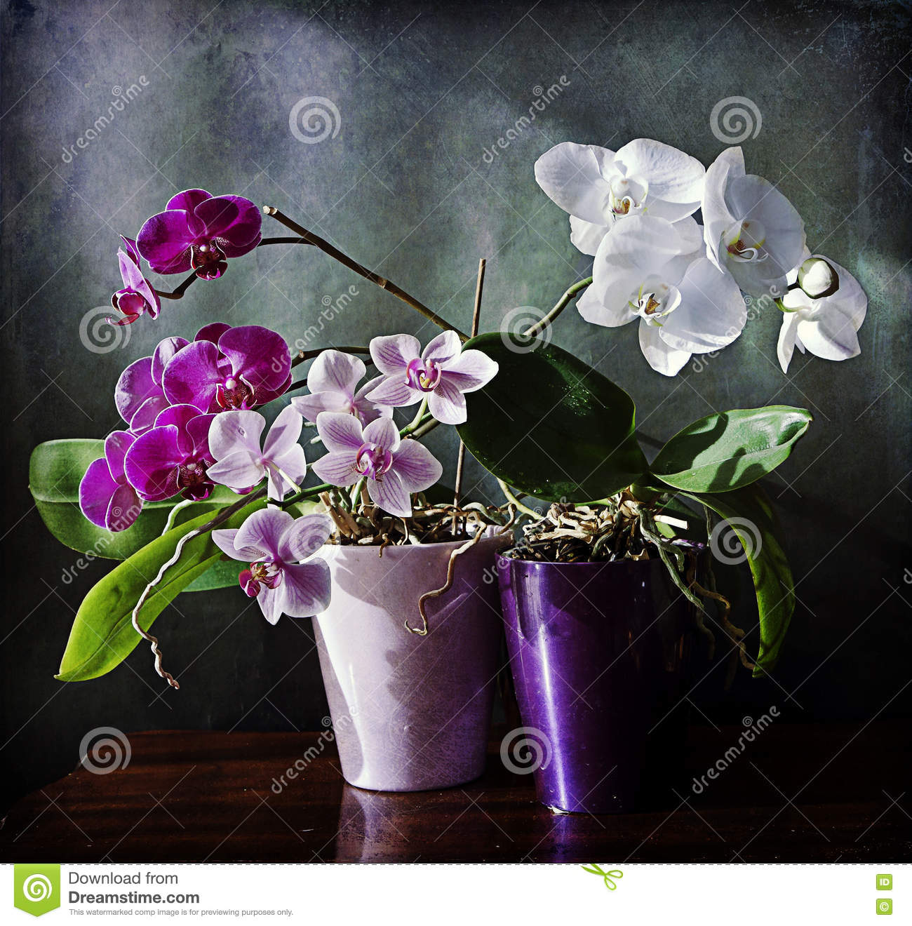 Still lifebeautiful orchid plants with purple and white flowers still lifebeautiful orchid plants with purple and white flowers mightylinksfo